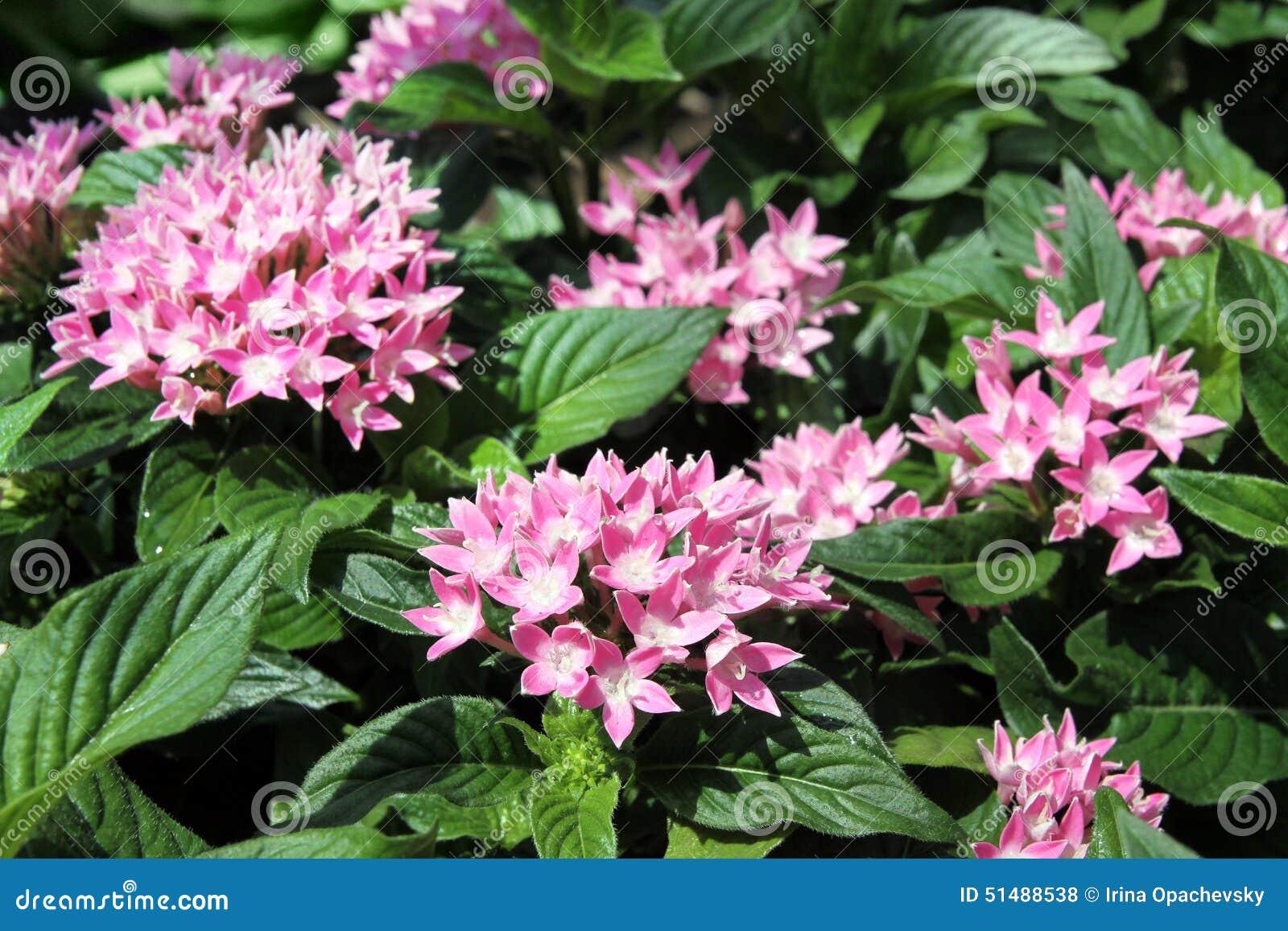Arbusto Del árbol De Hoja Perenne De Pentas Foto De Archivo Imagen De Pink Flora 51488538