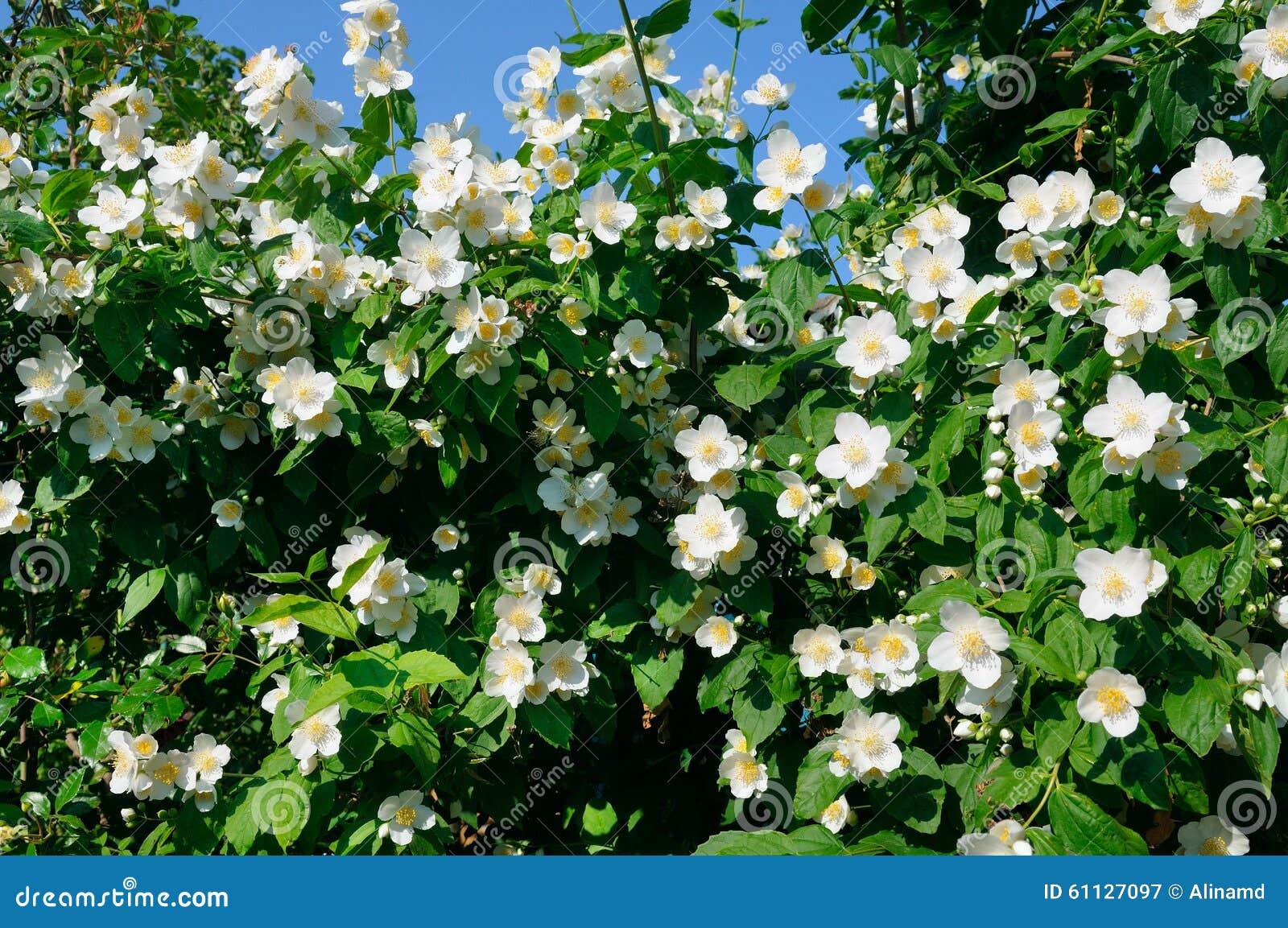 Arbusto del jazm n en un fondo del cielo azul foto de for Jazmin planta precio