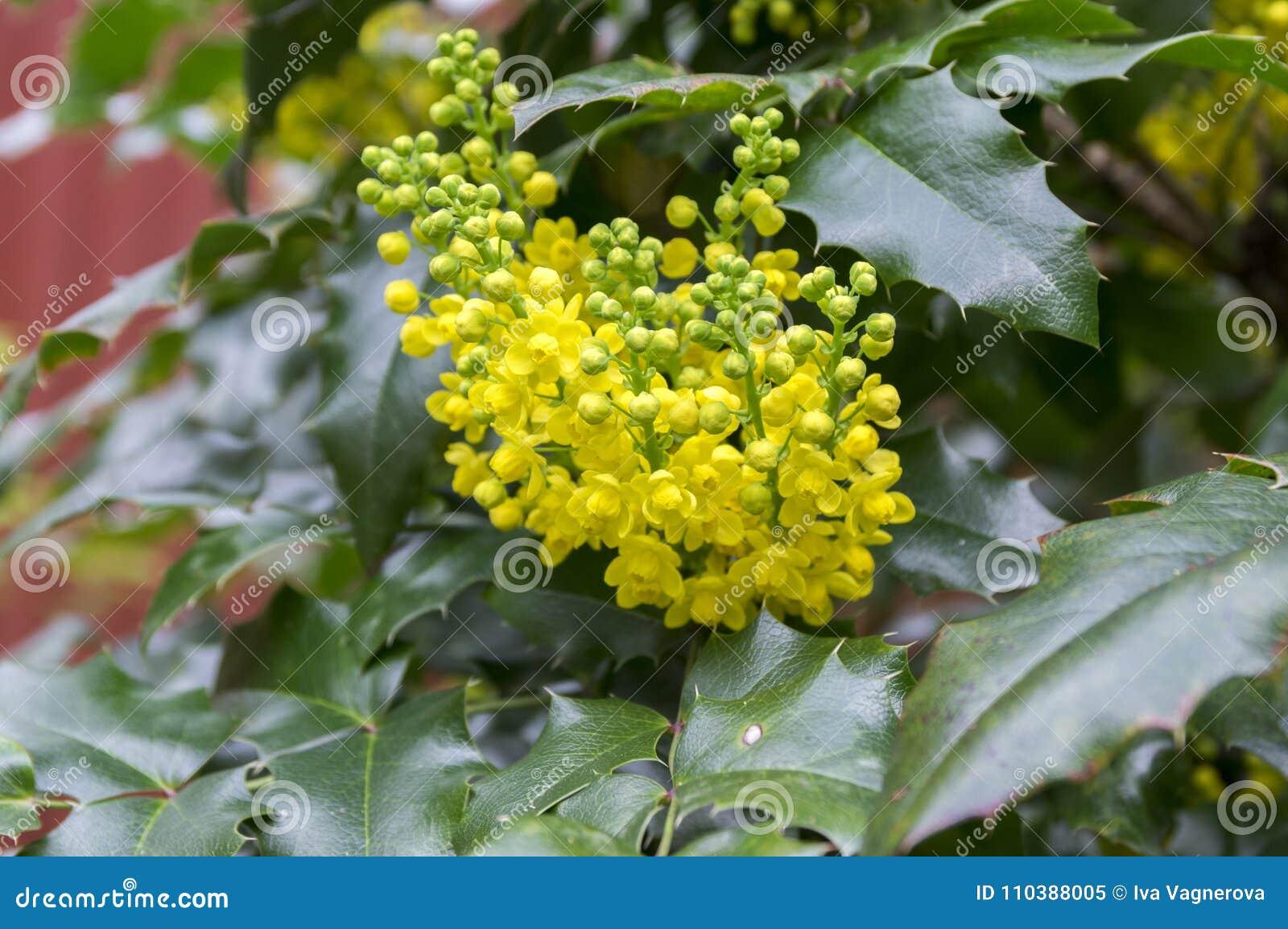 Cespugli Sempreverdi Con Fiori arbusto di aquifolium di mahonia con il fiore giallo
