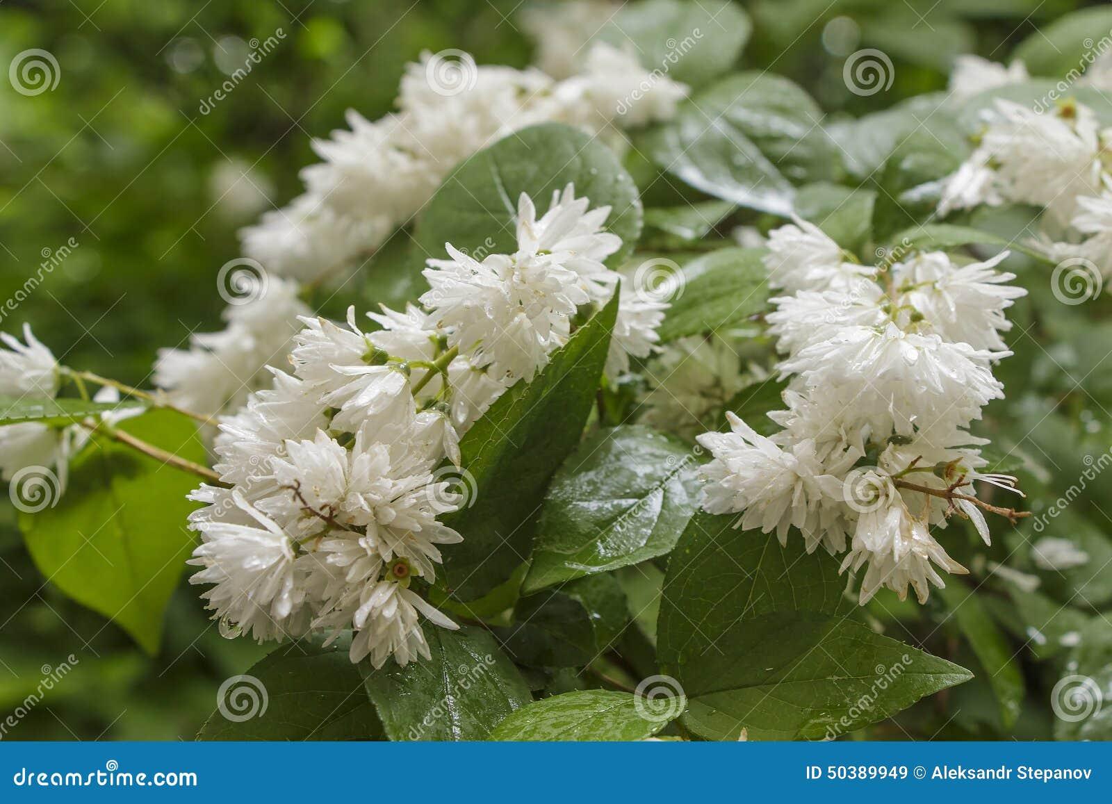 Arbusto Con Fiori Bianchi.Arbusto Di Fioritura Con I Fiori Bianchi In Tempo Piovoso Immagine
