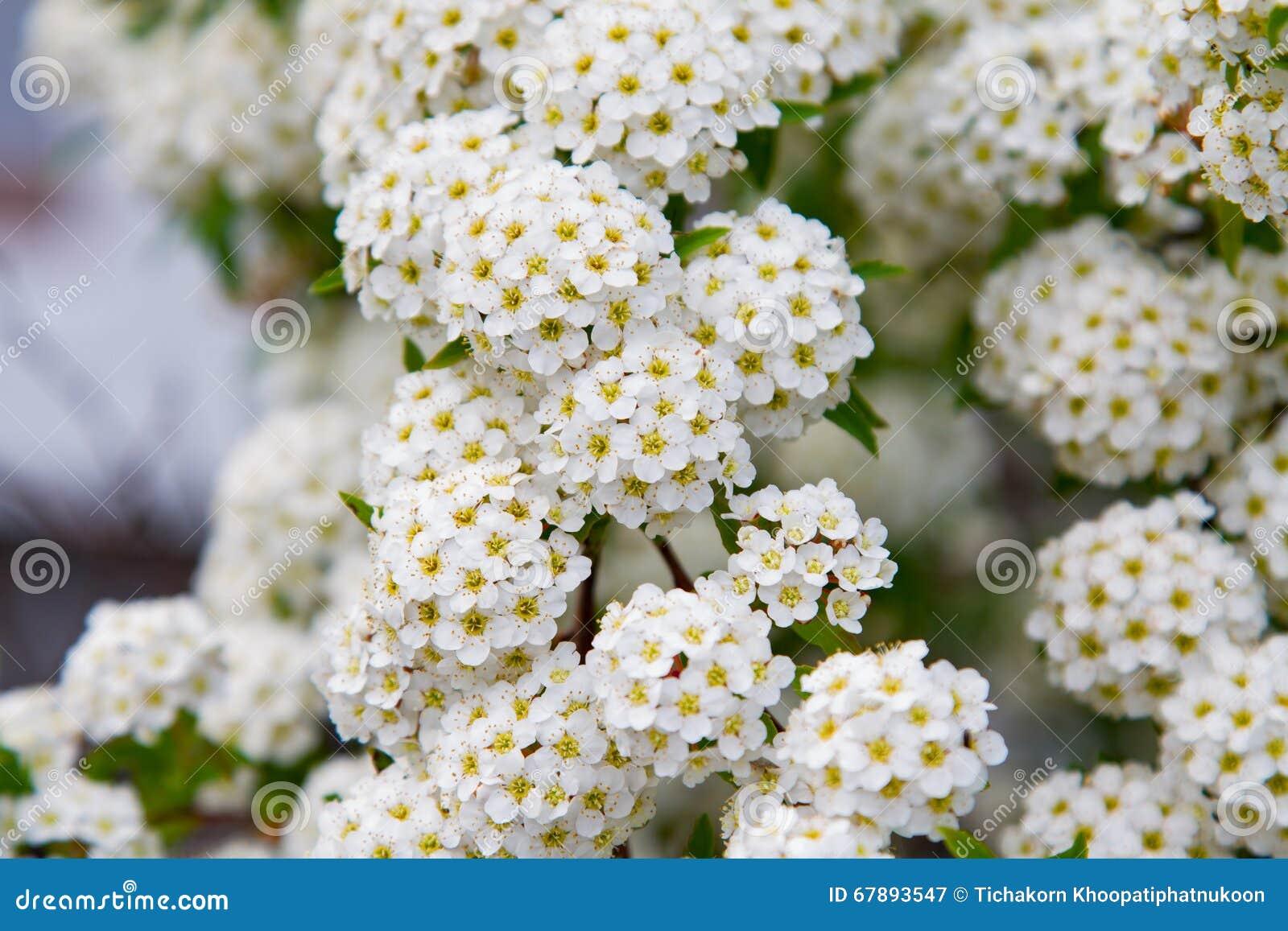 Arbusto Di Fioritura Della Guelder-rosa Della Primavera ...