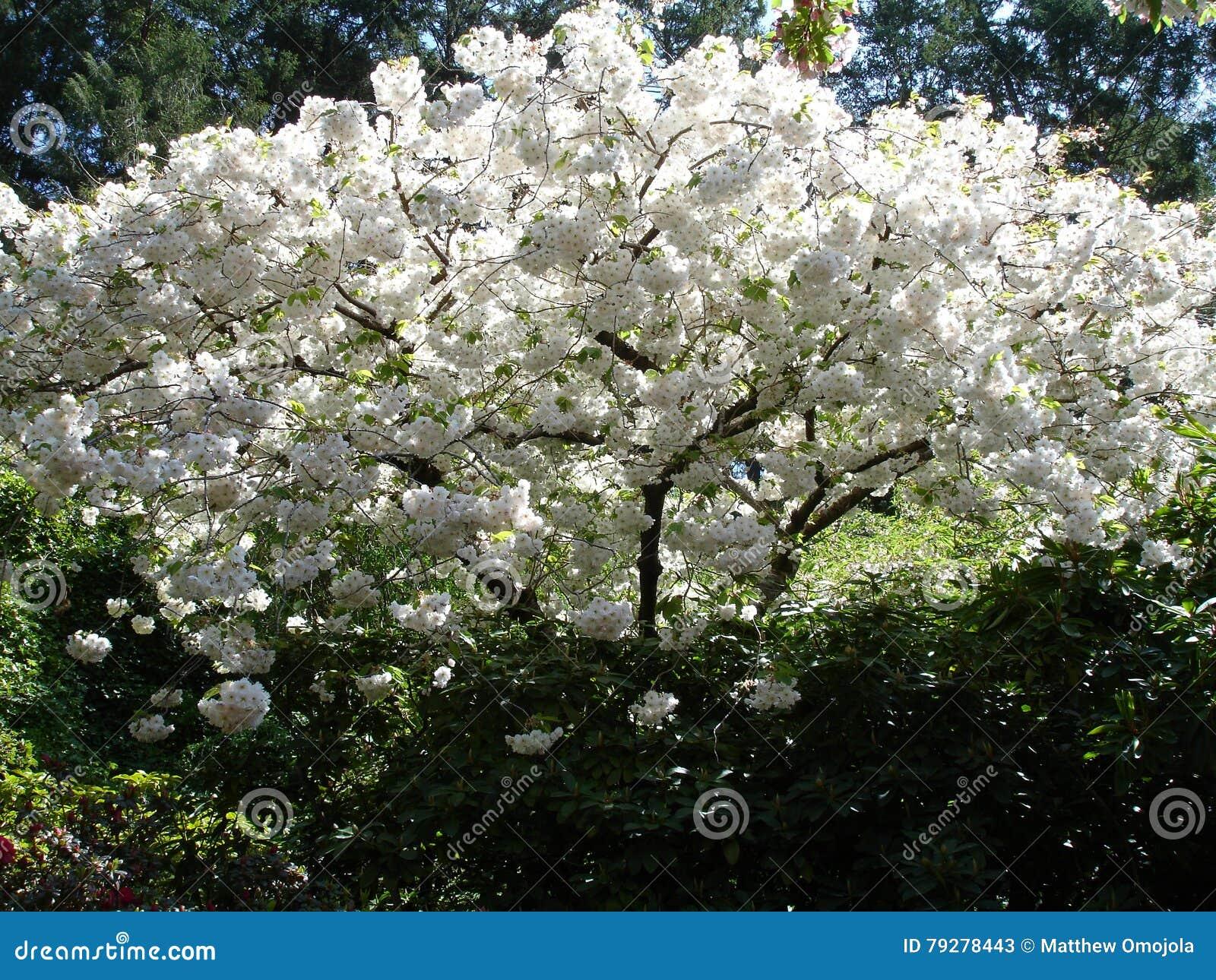 arbusto di fioritura di tempo di primavera con i fiori