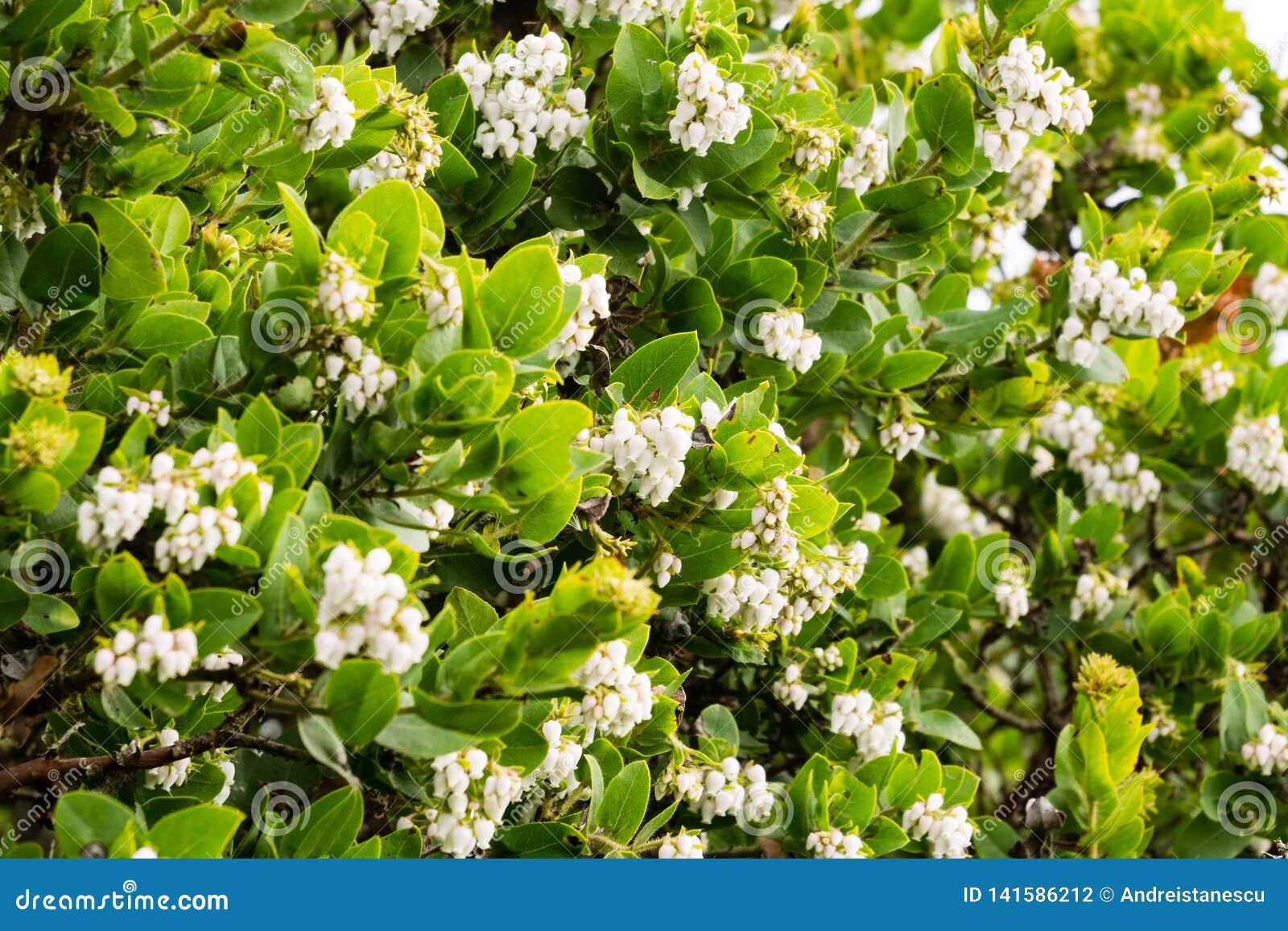 Arbusto Fiori Bianchi.Arbusto Di Manzanita In Pieno Dei Fiori Bianchi California