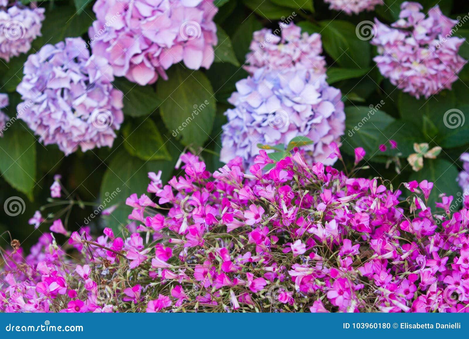Arbusto do Hortensia e muitas flores cor-de-rosa pequenas do trevo