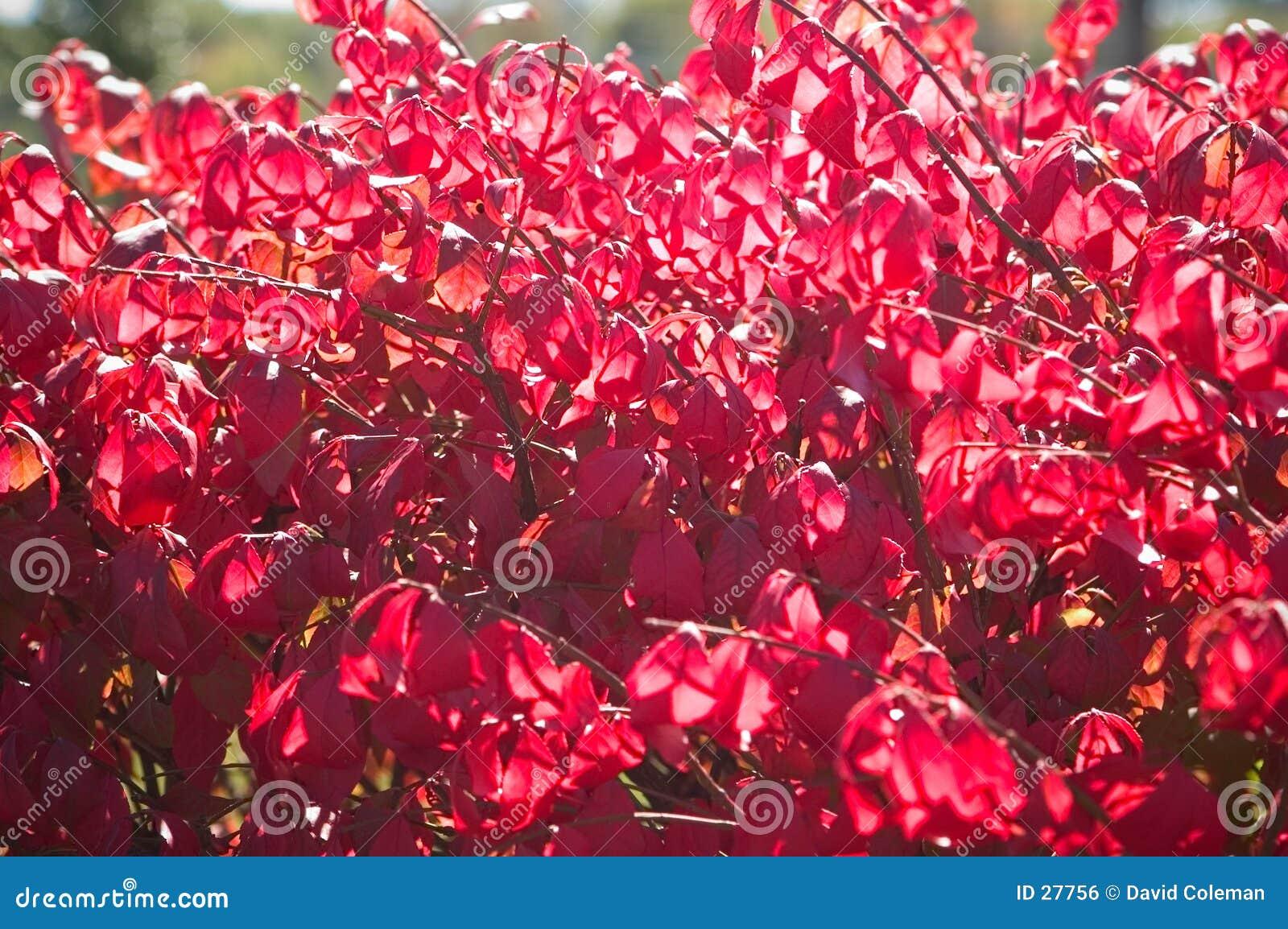 Arbusto do outono