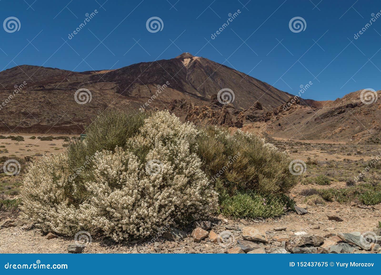 Arbusto endémico floreciente Flores blancas de los rhodorhizoides del Retama Pico de la montaña Teide y del cielo azul claro en e
