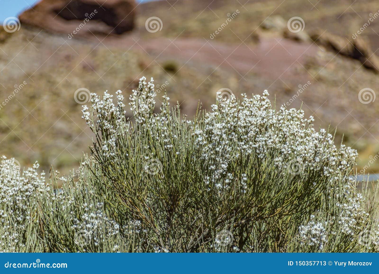 Arbusto endémico floreciente Flores blancas de los rhodorhizoides del Retama Rocas rojas de la lava en el parque nacional borroso