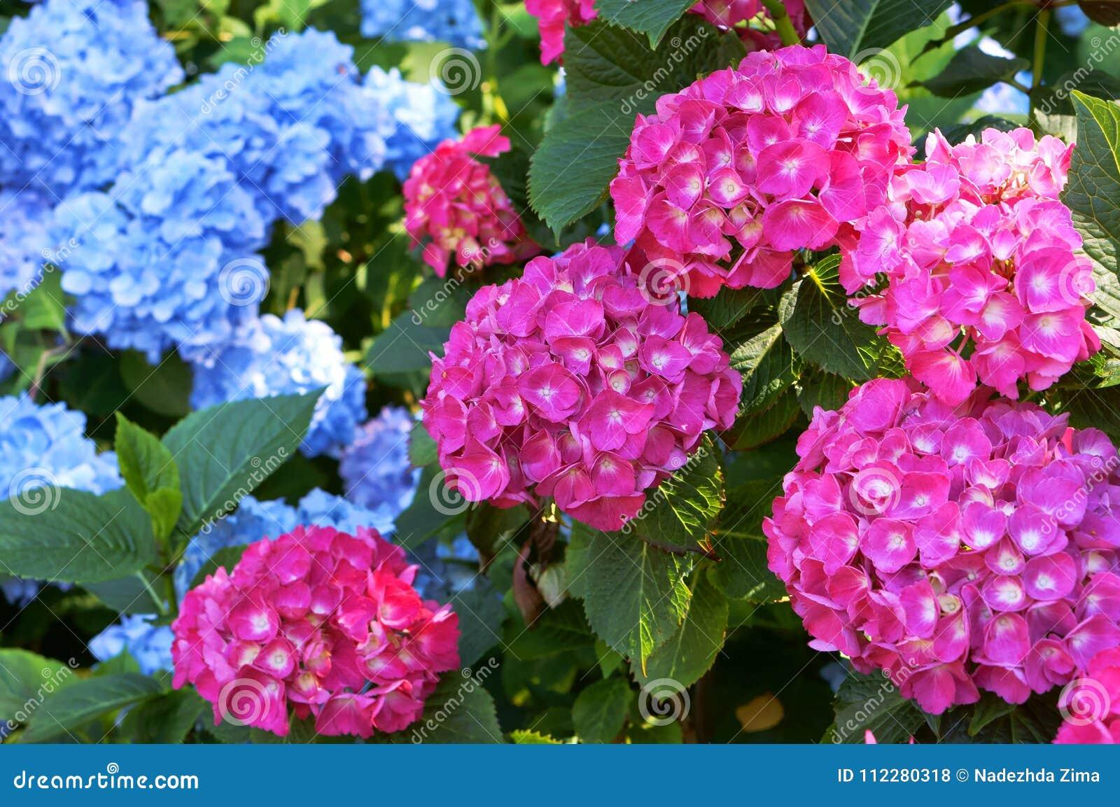 Arbusto espesso cor-de-rosa e ciano da hortênsia, com os tampões enormes das inflorescência das flores, as azuis e as cor-de-rosa