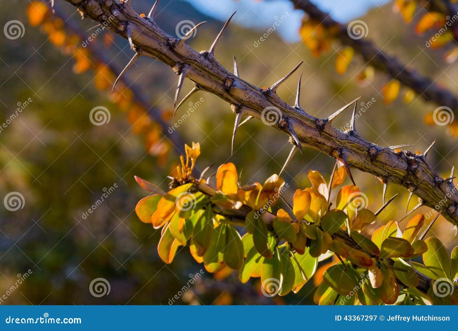 Arbusto espinoso
