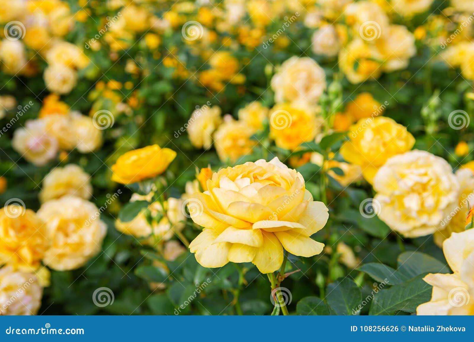 Arbusto Hermoso De Rosas Amarillas En Un Jardín De La ...
