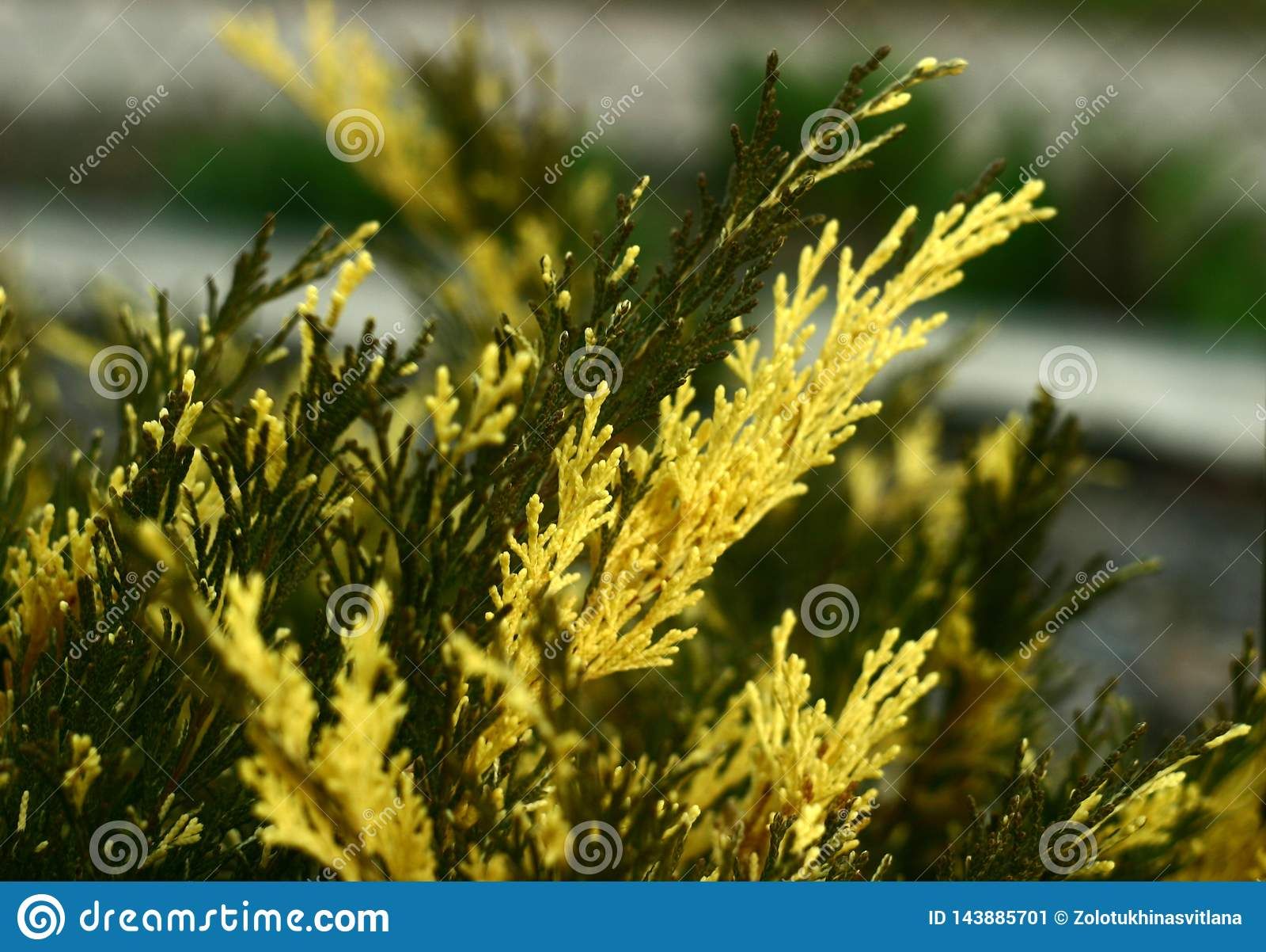 Arbusto inusualmente hermoso - enebro
