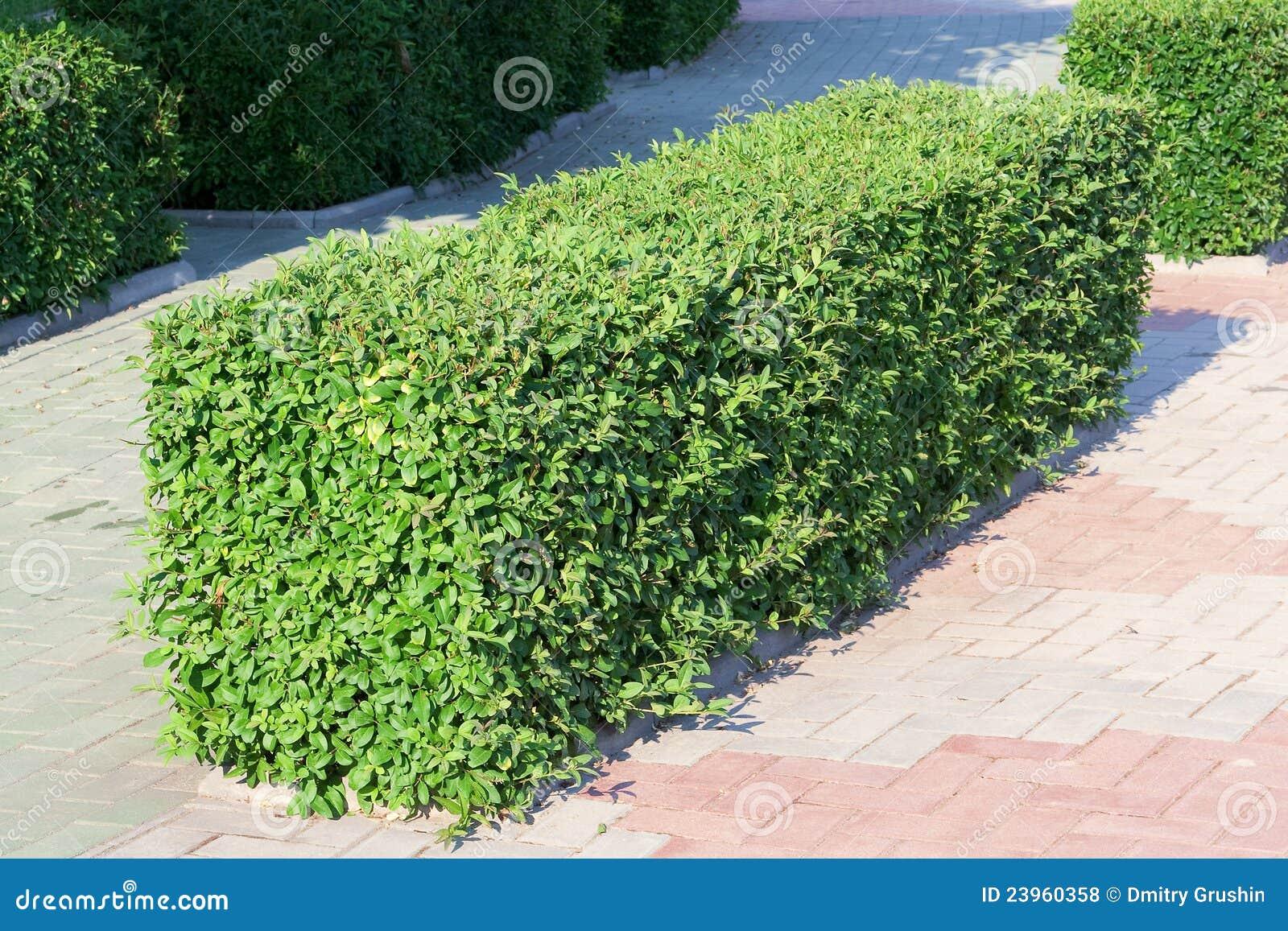 arbusto ornamental foto de archivo imagen de grande