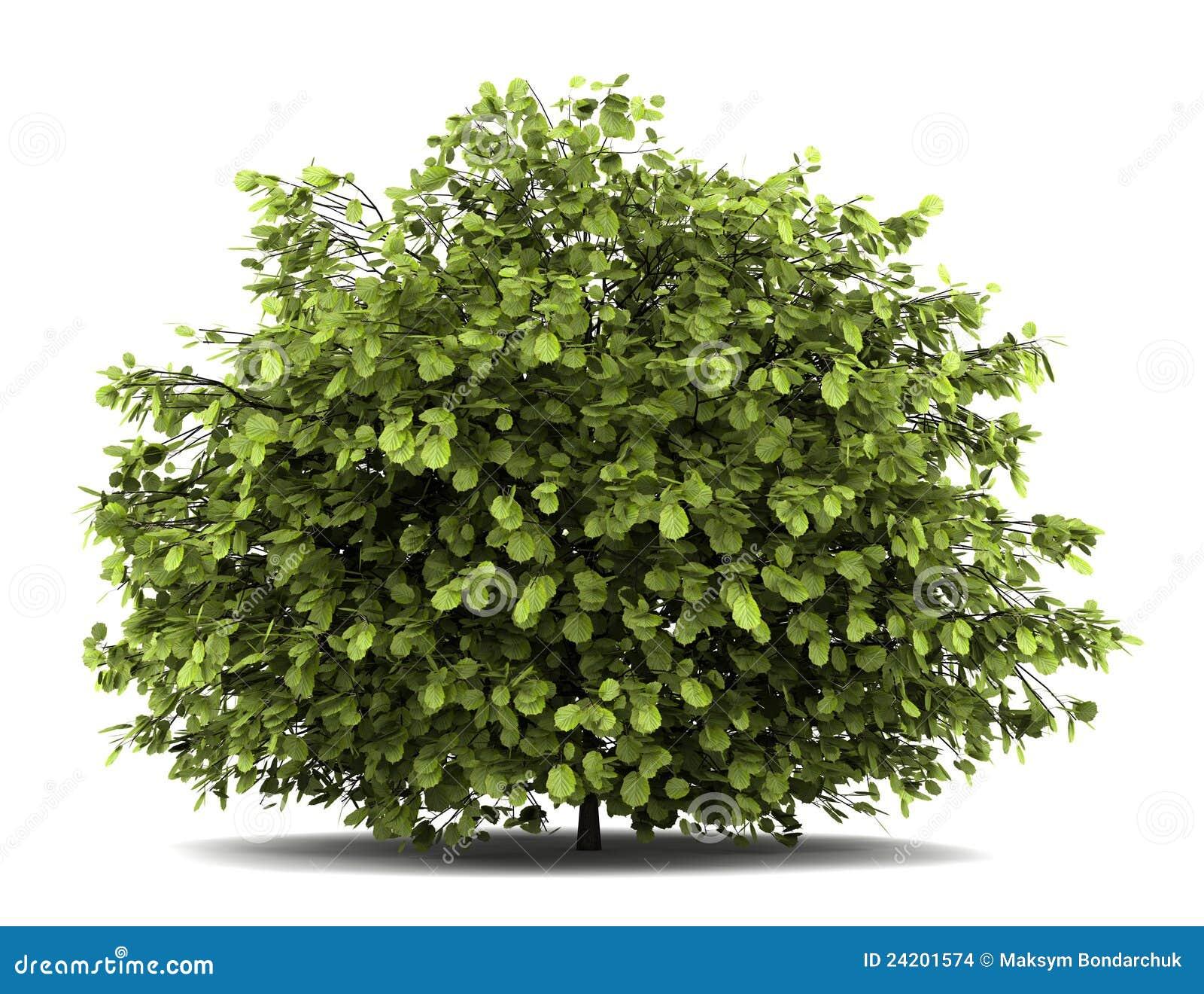 arbusto Español