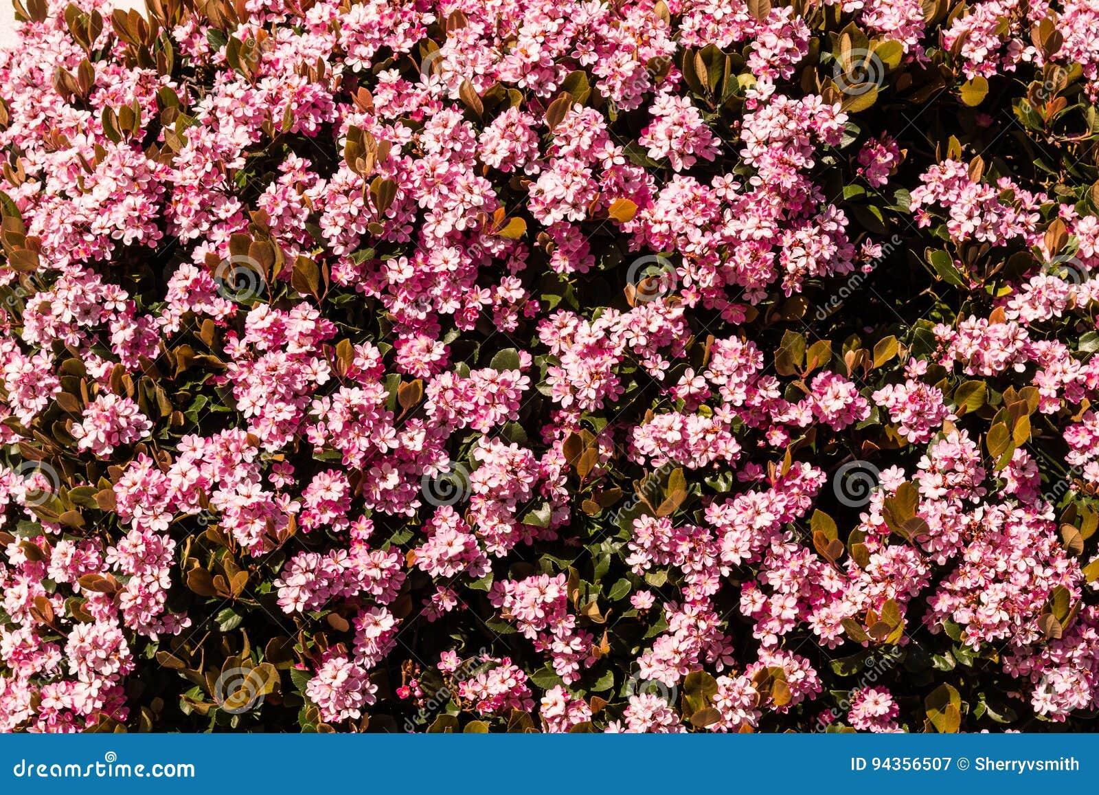Cespugli Sempreverdi Con Fiori arbusto sempreverde del cratego indiano con i fiori rosa