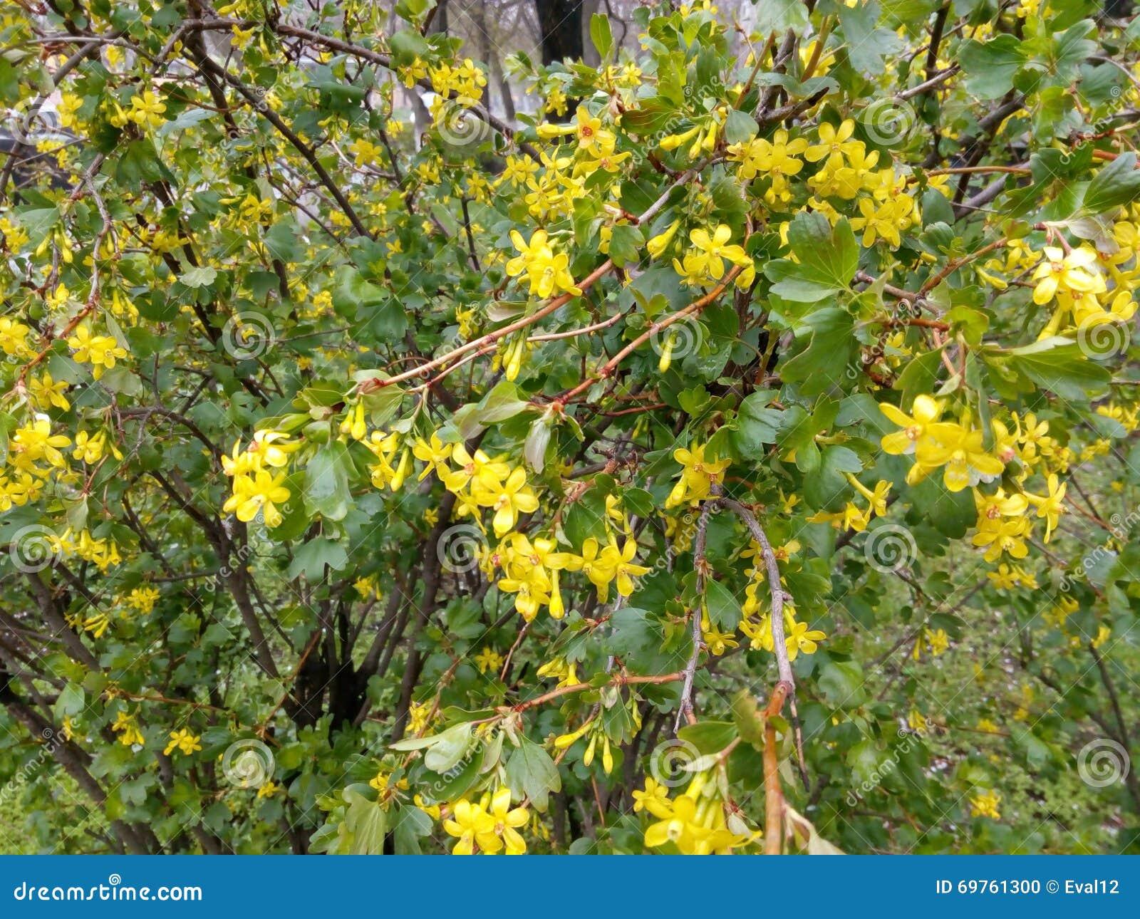 Cespuglio Con Fiori Gialli.Arbusto Verde Con I Piccoli Fiori Gialli Fotografia Stock