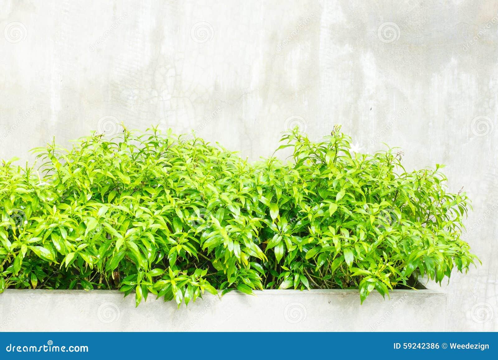Arbusto verde de la hoja en el muro de cemento