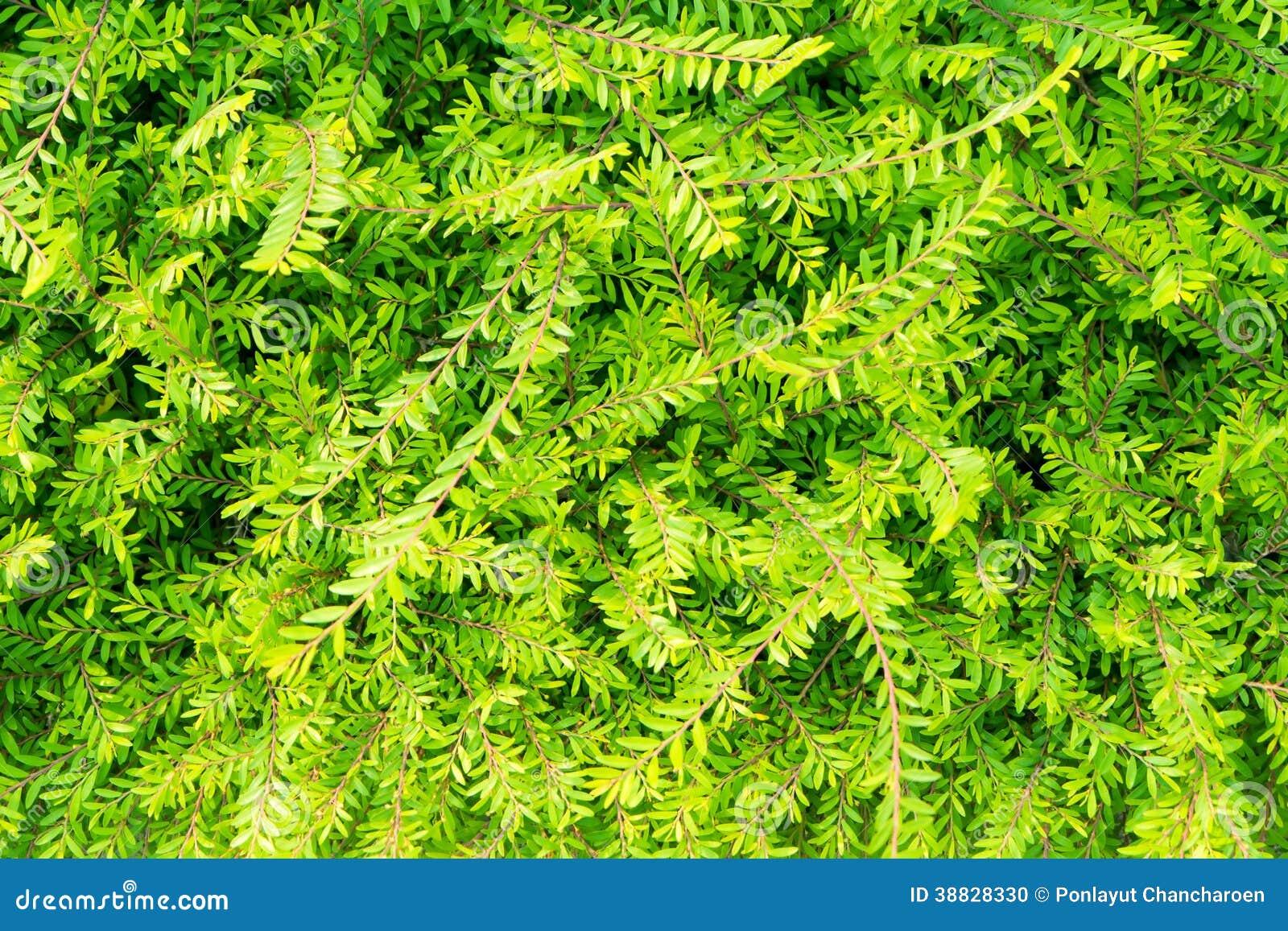 Arbusto verde de la planta en jard n foto de archivo for Arbustos de jardin