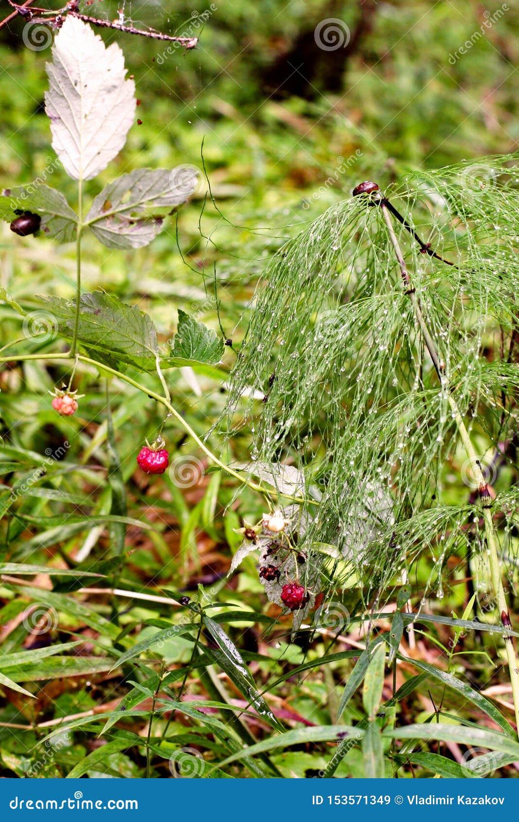 Arbusto verde do ar com orvalho sob a forma dos guarda-chuvas Perto das framboesas vermelhas e há um par caracóis