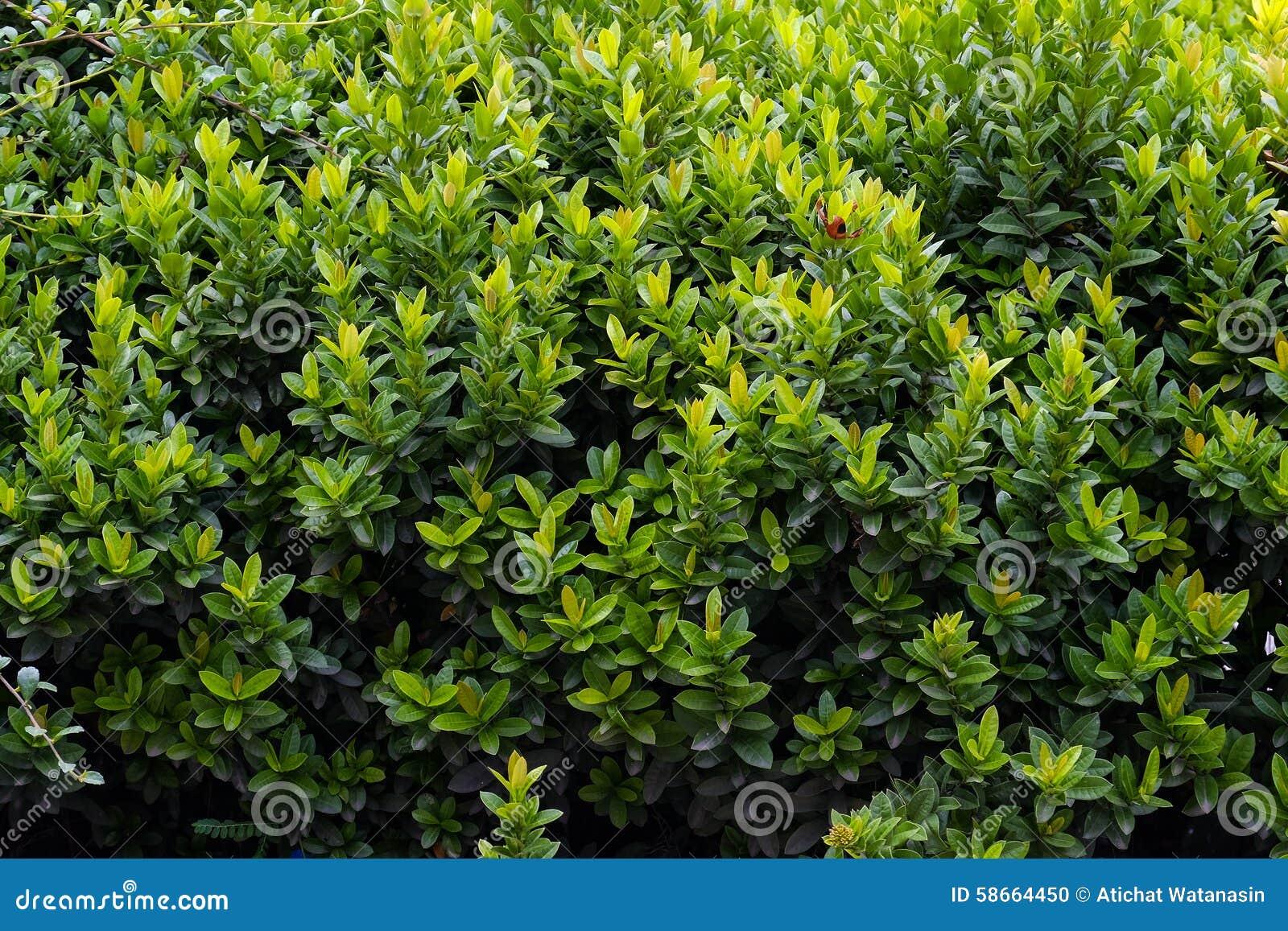 Arbusto verde en el jard n foto de archivo imagen 58664450 - Arbustos de jardin ...