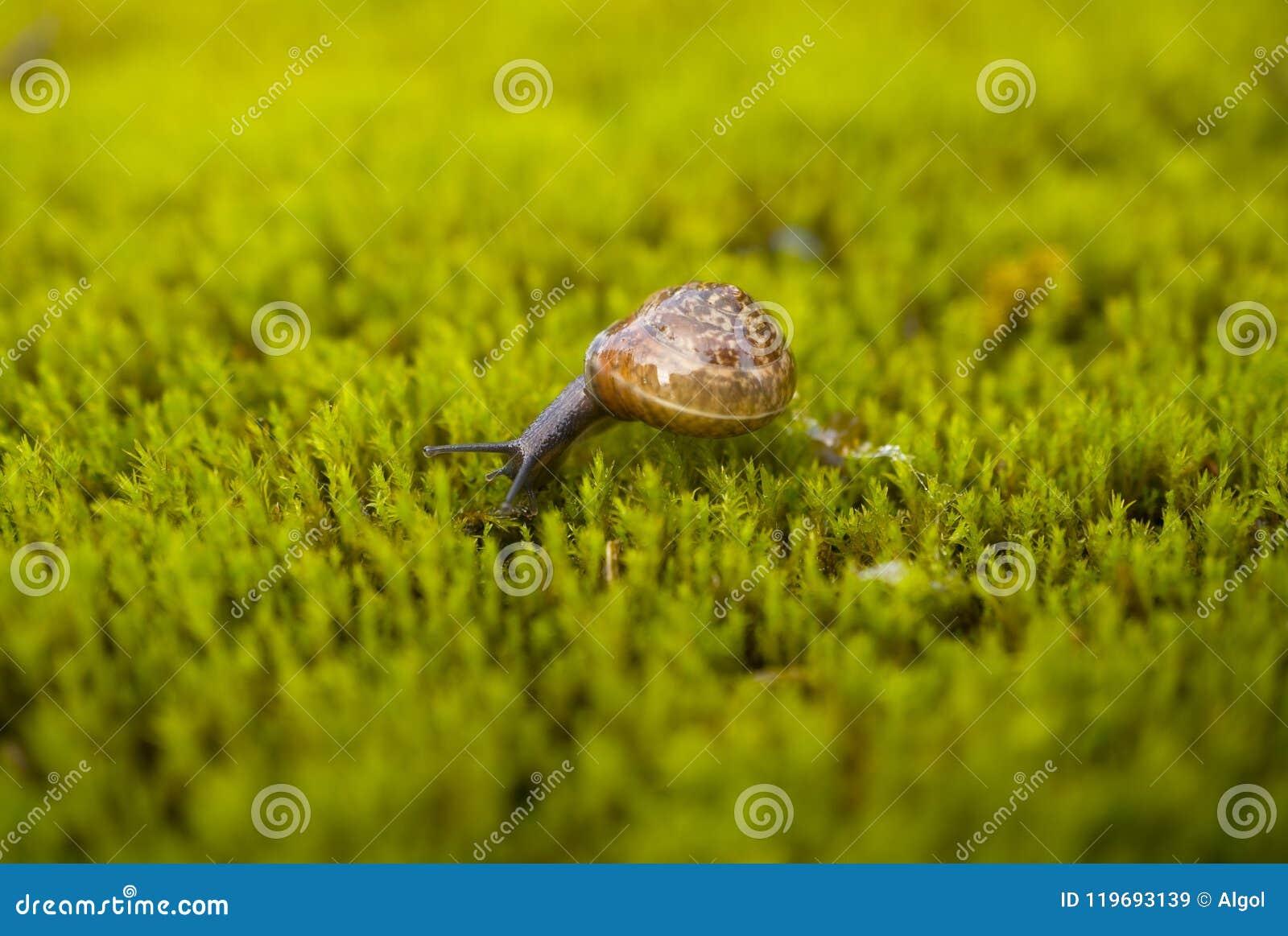 Arbustorum d Arianta d escargot de taillis sur la mousse