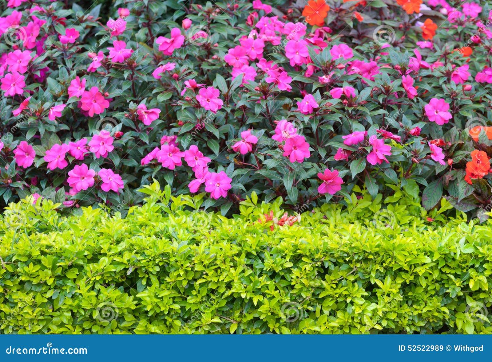 Arbustos con las flores rosadas foto de archivo imagen - Arbustos con flores ...