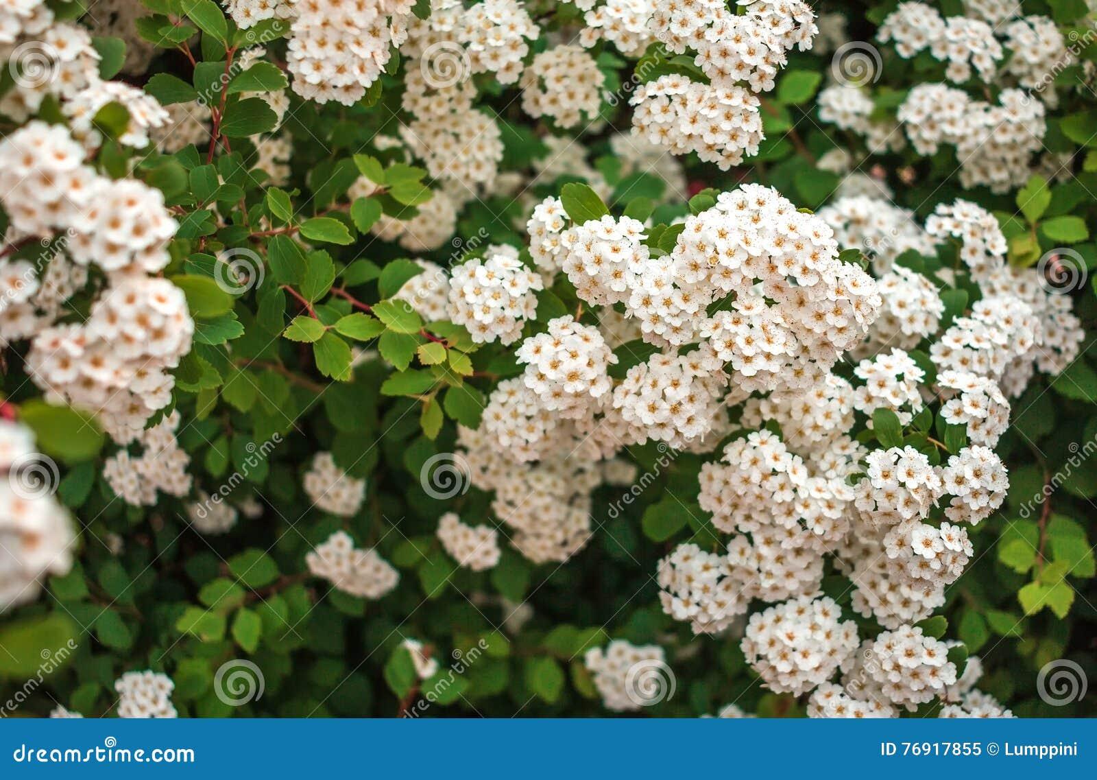 arbustos de la flor blanca en un fondo borroso foto de On arbustos salvajes
