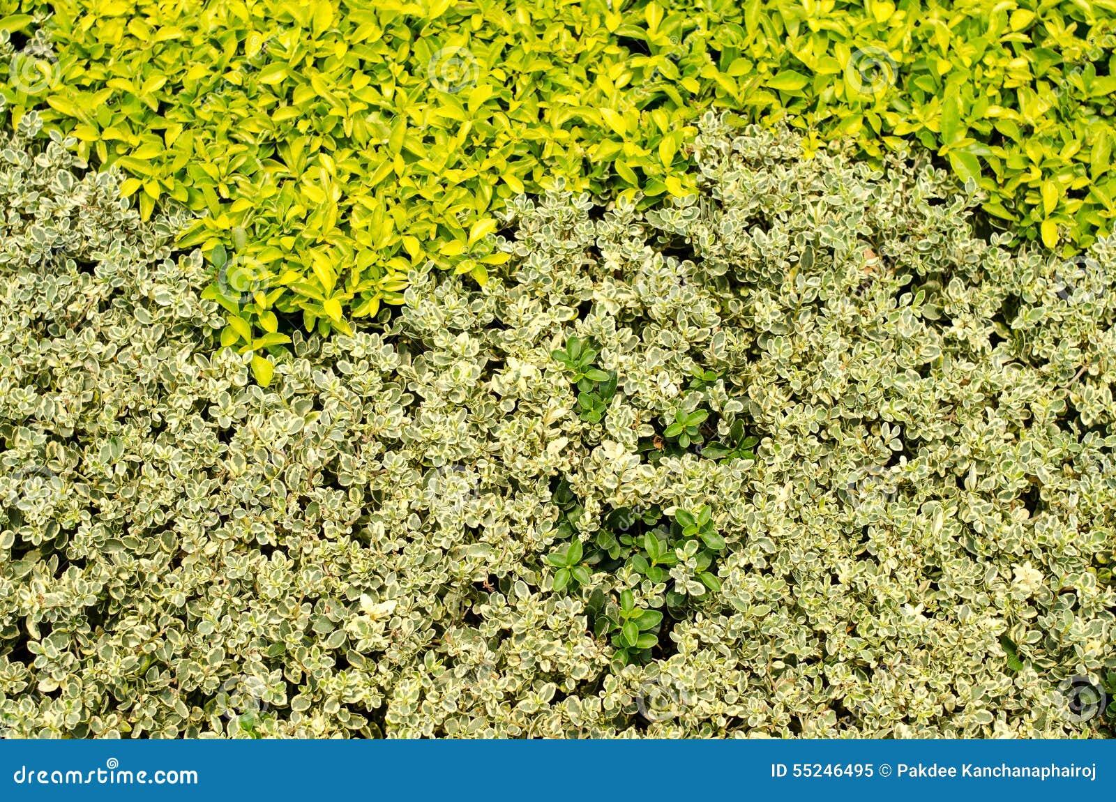 Arbustos decorativos foto de archivo imagen 55246495 for Arbustos decorativos