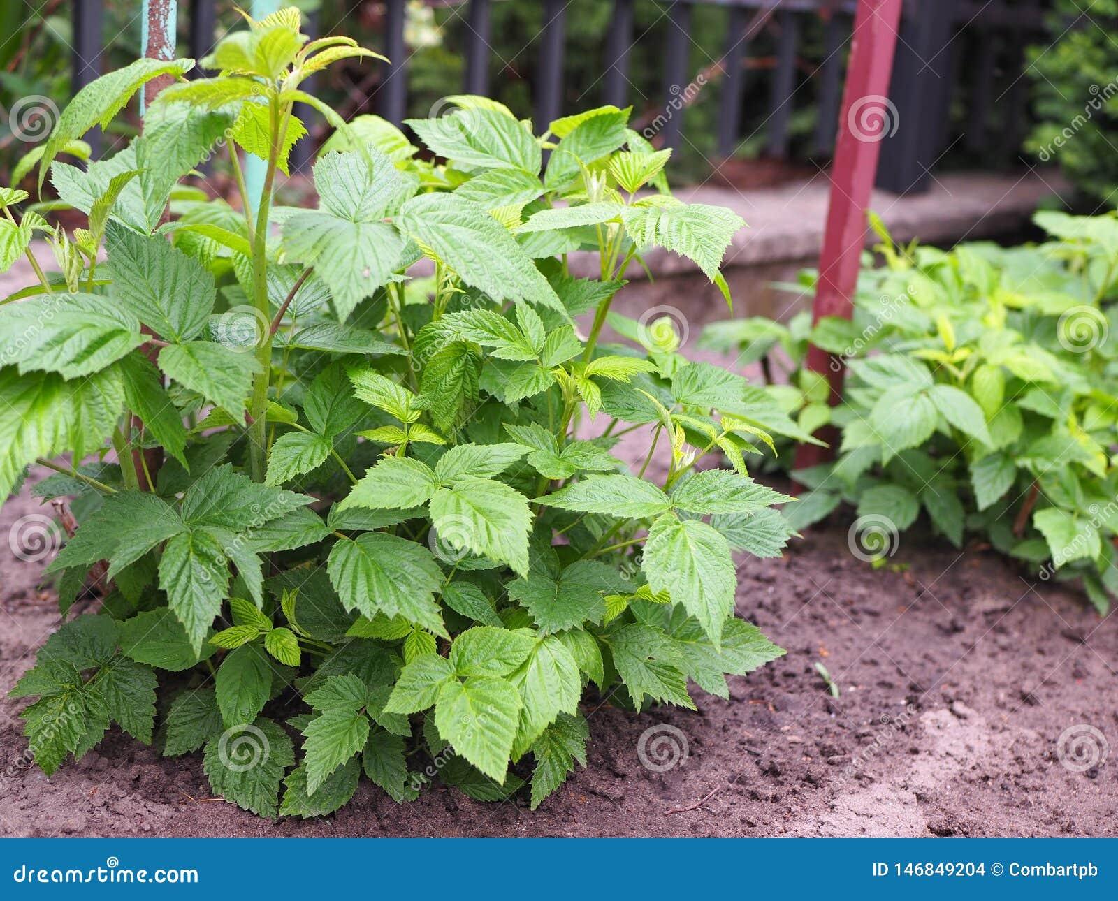 Arbustos jovenes de frambuesas en jardín