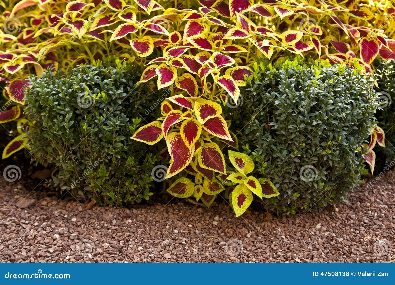 Arbustos Ornamentales Foto De Archivo Imagen 47508138