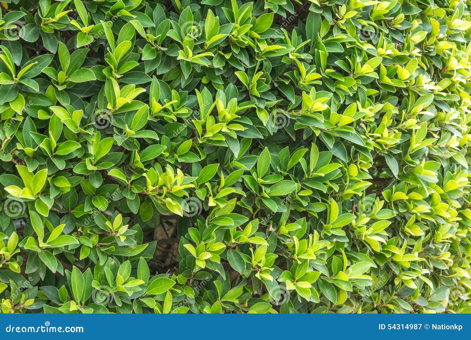 Arbustos ornamentales arbustos de la pared imagen de for Arbustos ornamentales de exterior