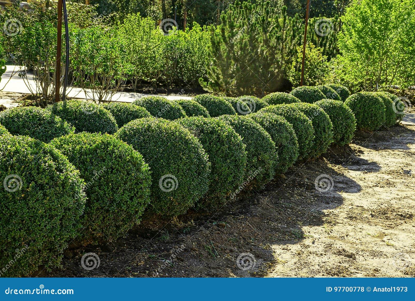 Arbustos redondos decorativos en el jard n del verano foto for Arbustos decorativos para jardin