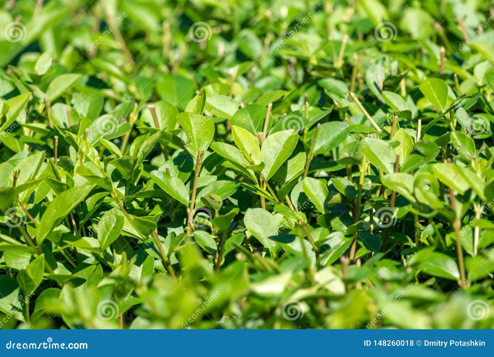 Arbustos verdes com ramos aparados e as folhas novas