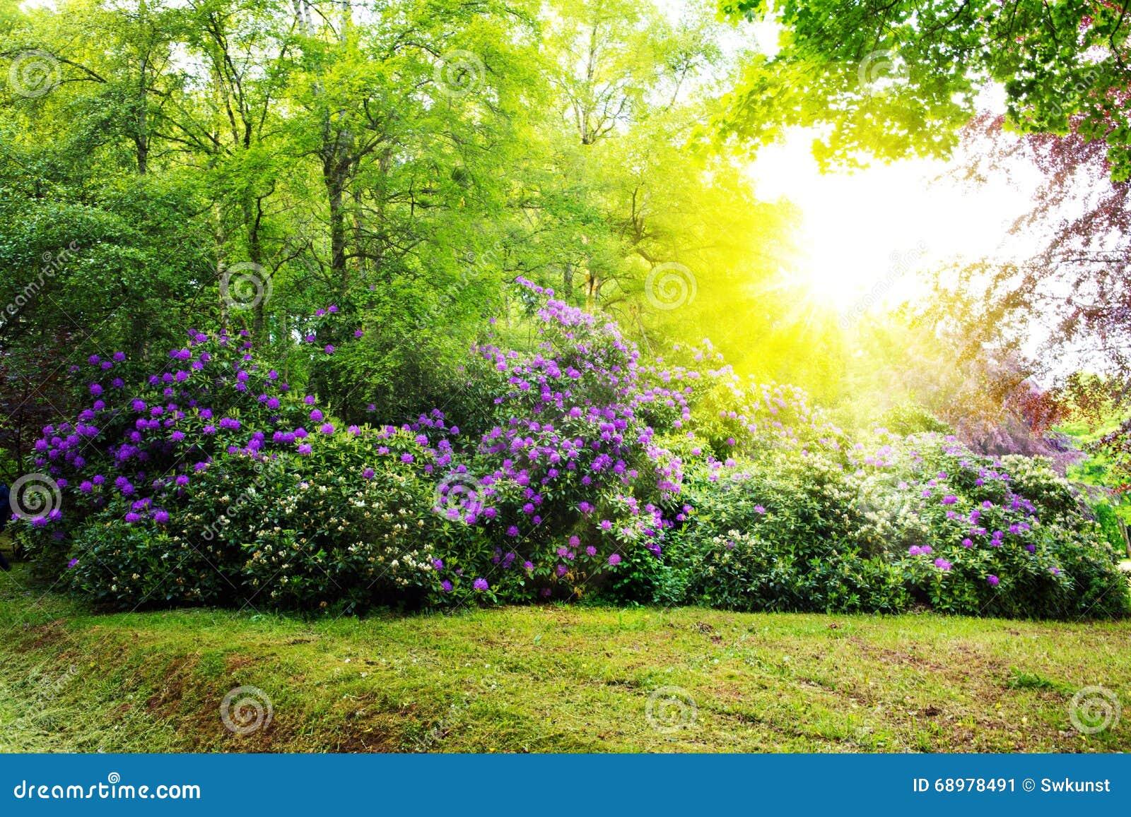 Arbustos y sol del rododendro