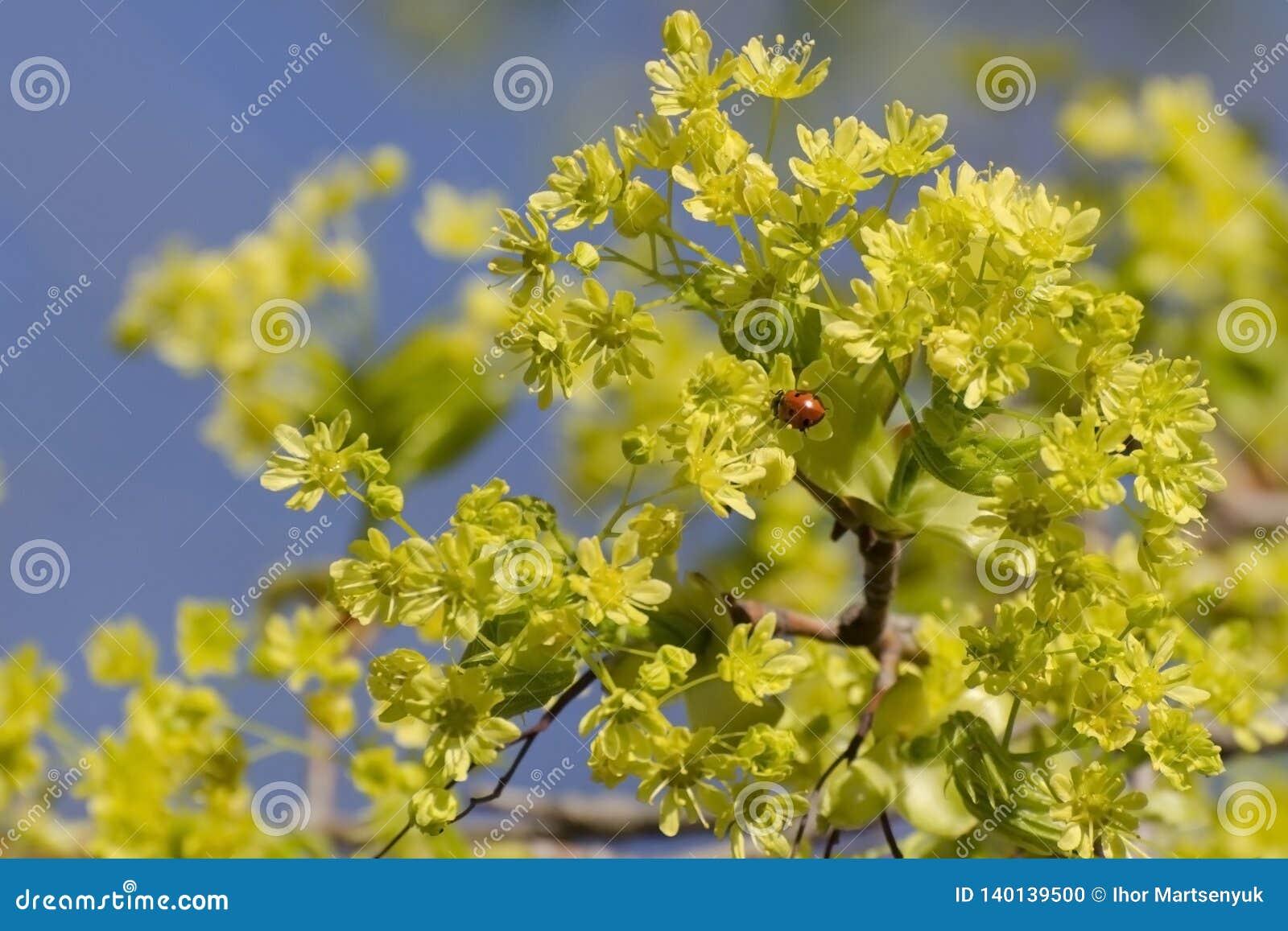Arce floreciente en primavera temprana En una inflorescencia amarilla sienta una mariquita