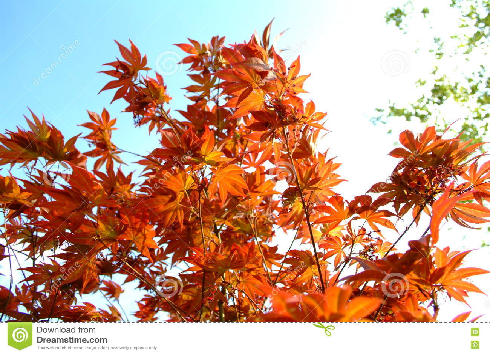 Arce japonés rojo