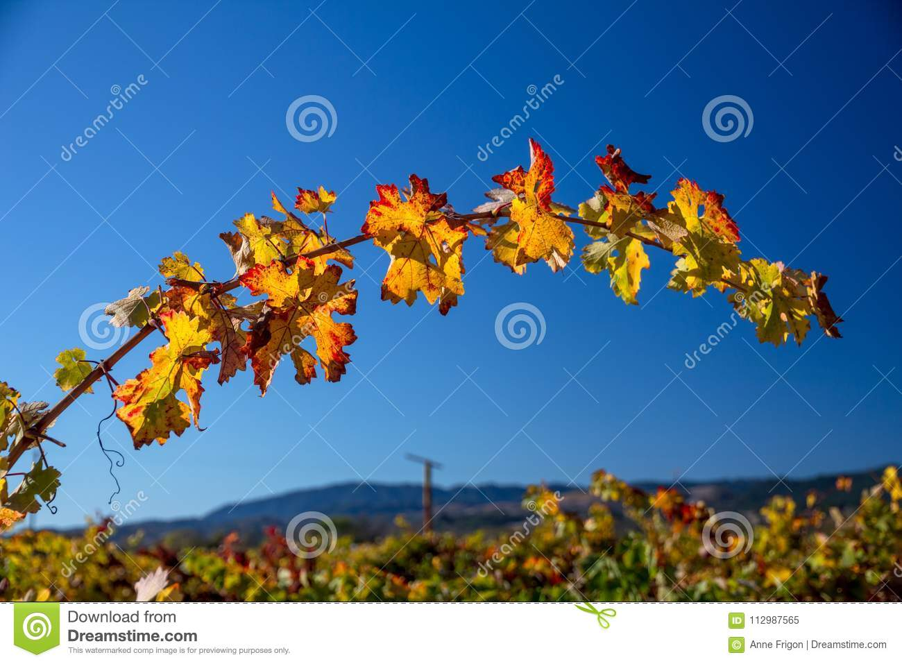 Arching grapevine with red and orange leaves under blue sky