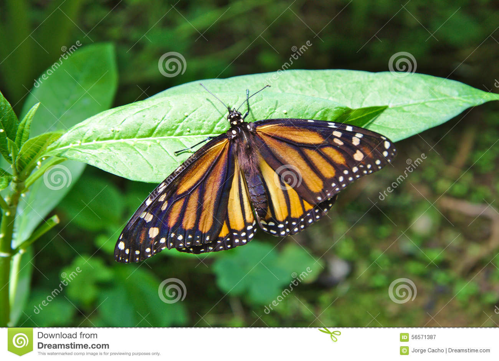 Download Archippus Limenitis, αντιβασιλέας ή πεταλούδα μοναρχών Στοκ Εικόνα - εικόνα από brigid, ζωηρόχρωμος: 56571387