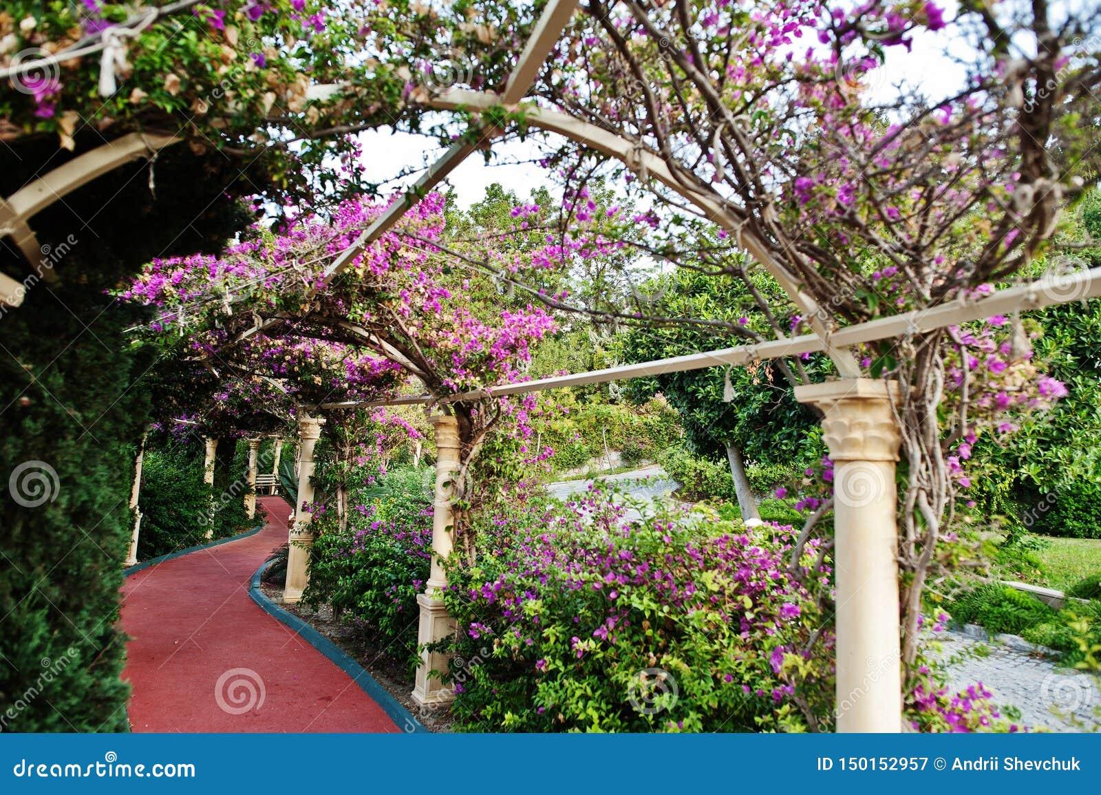 Arco de flores roxas da buganvília em Turquia
