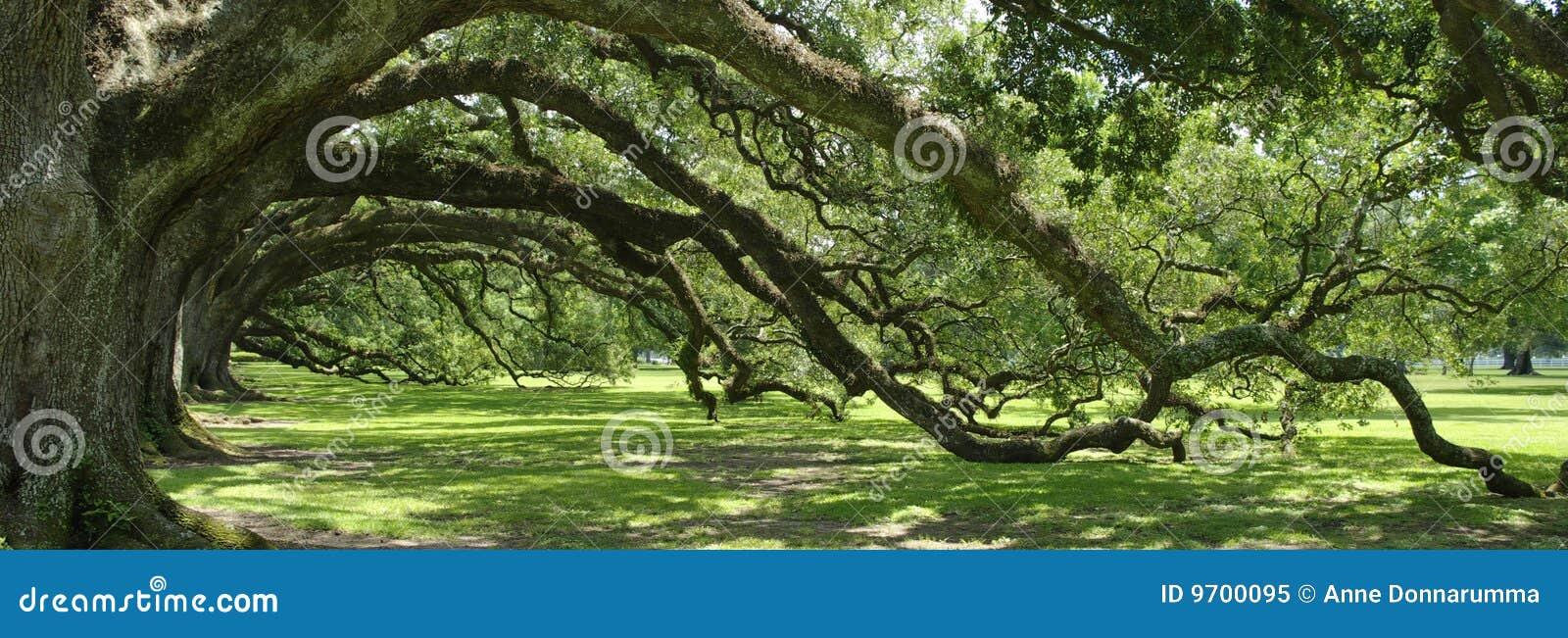 Arco verde del sud della quercia in tensione