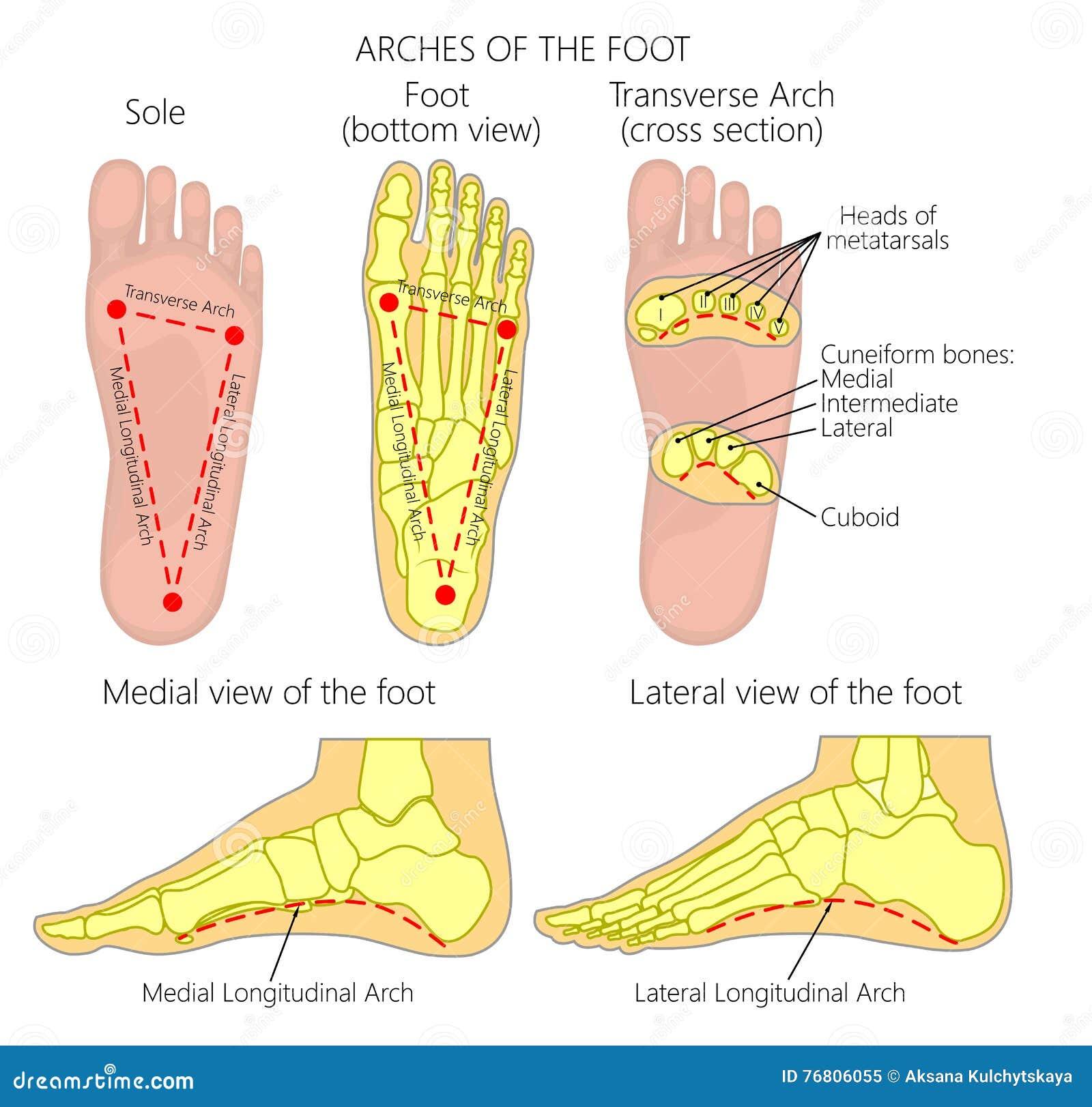 Arcos del pie ilustración del vector. Ilustración de diagrama - 76806055