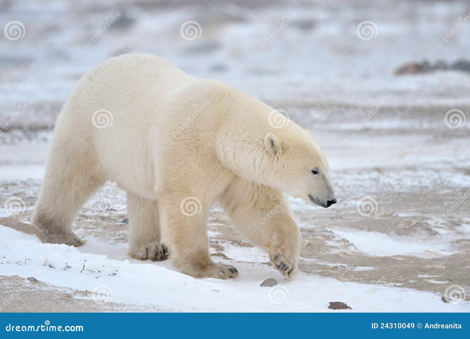Arctic biegunowy niedźwiadkowy