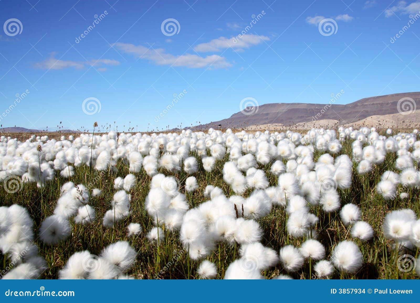 Arctic Cotton Grass Sc...