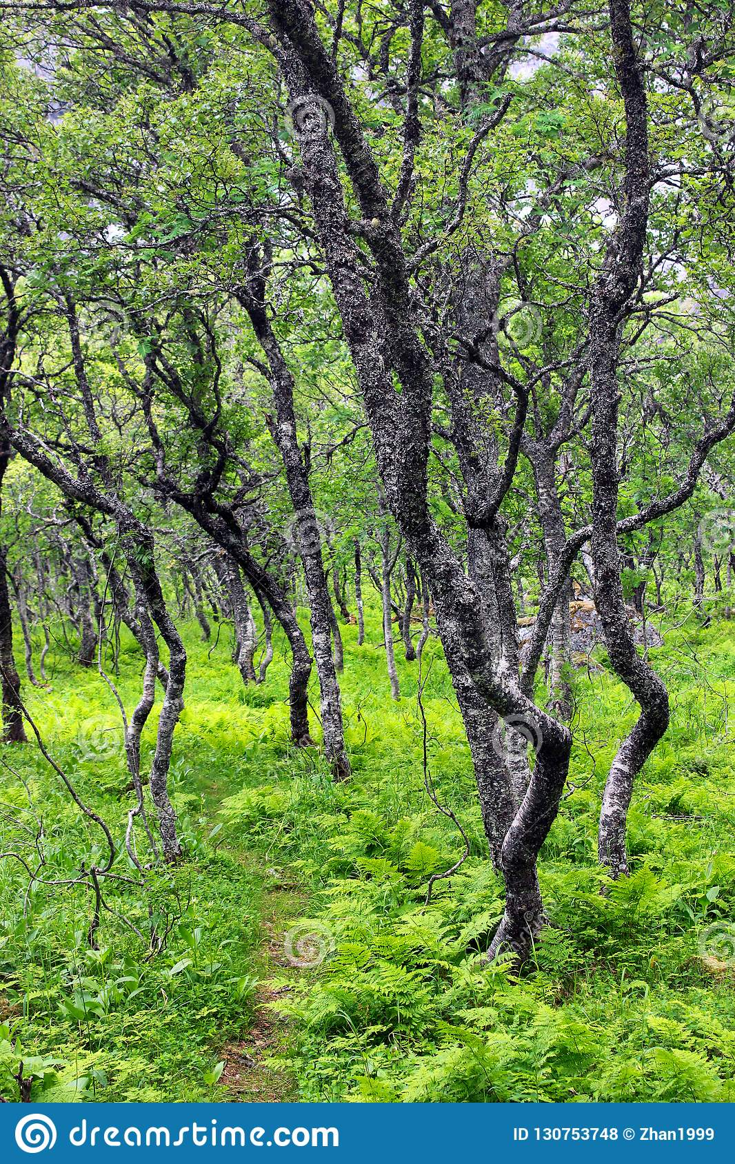 Arctic forest of gnarled dwarf birches and fern, Southern Norway