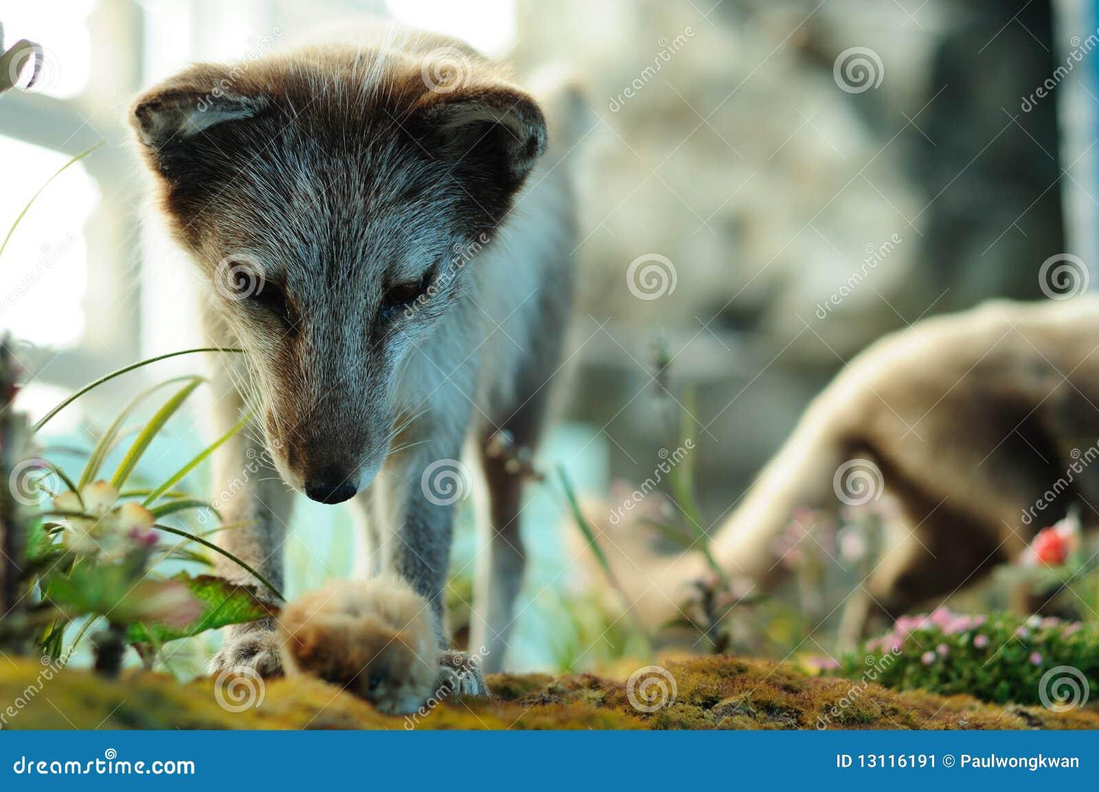 Arctic fox hunting