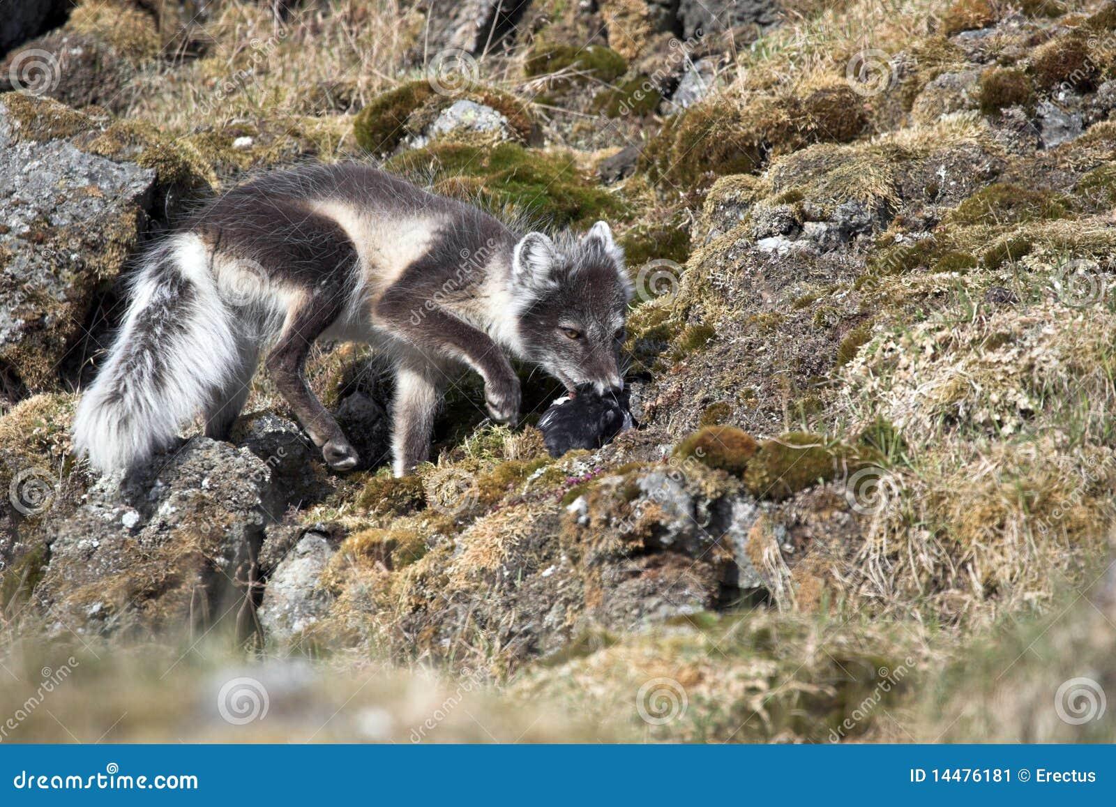 Arctic fox hunting for birds