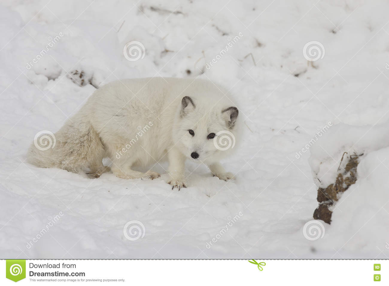 Arctic fox hunting for food on a snow hill with extended claws i