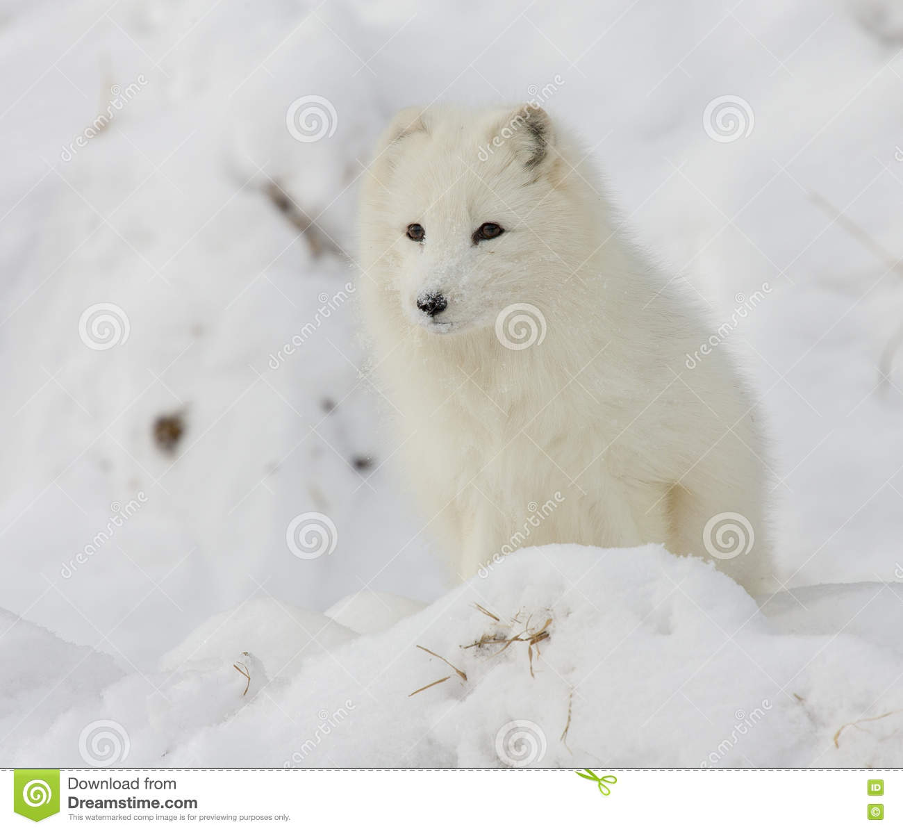 Arctic fox on snowy hill in winter time