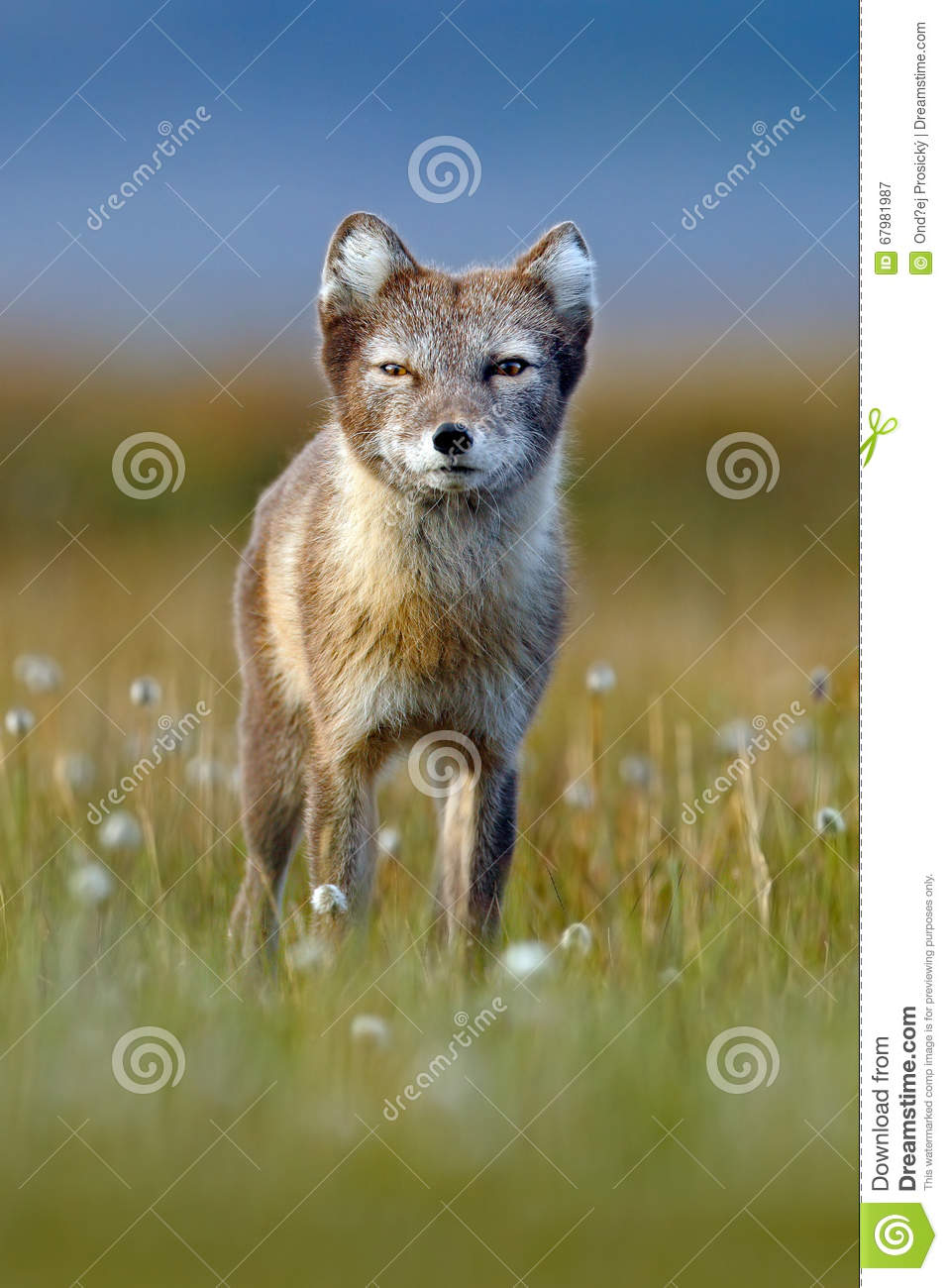 Arctic Fox, Vulpes lagopus, cute animal portrait in the nature habitat, grass meadow with flowers, Svalbard, Norway