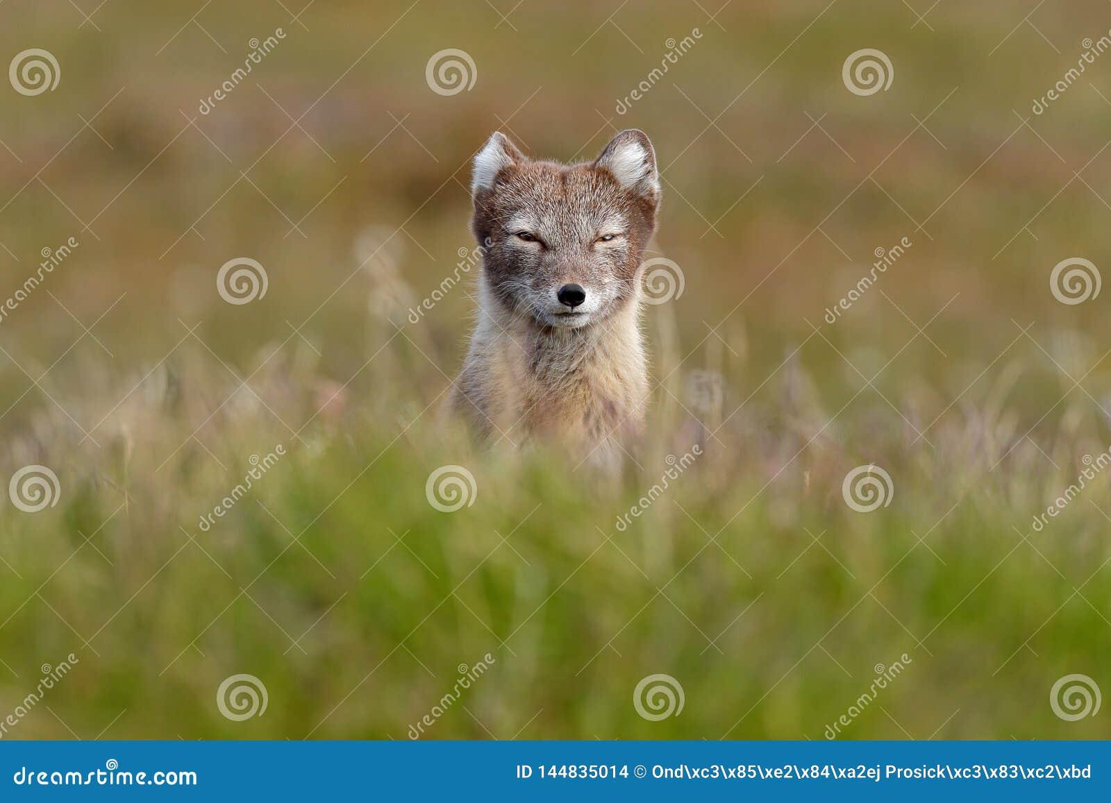 Arctic Fox, Vulpes lagopus, cute animal portrait in the nature habitat, grassy meadow with flowers, Svalbard, Norway. Beautiful