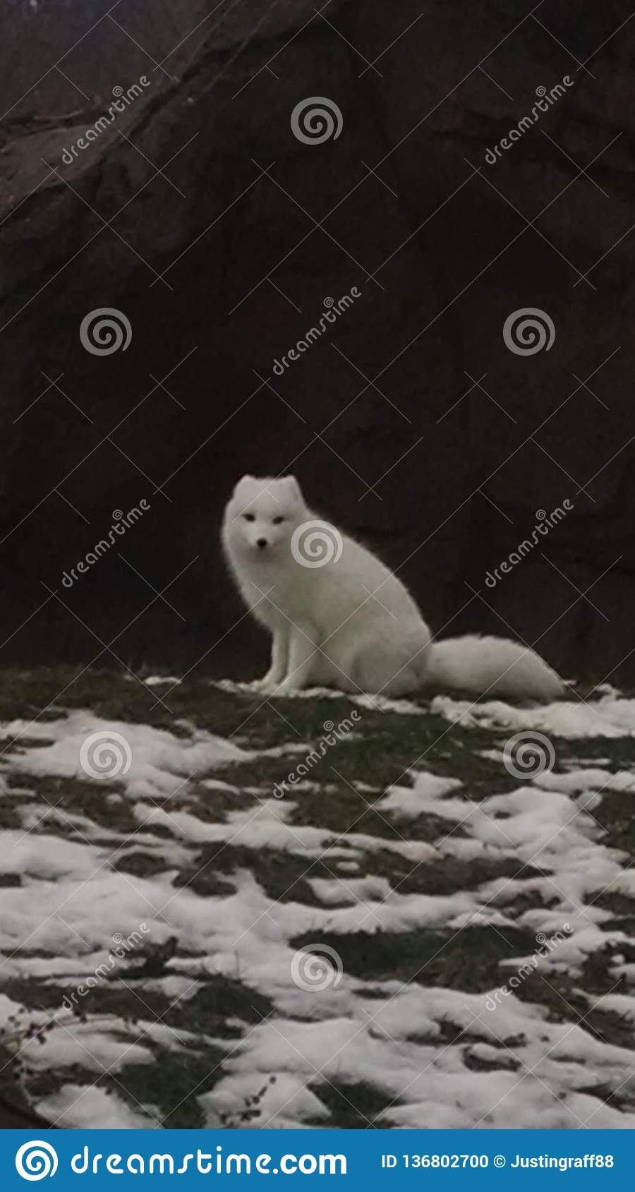 43d5b924375 Arctic fox with a white coat trying to blend into a partly snowy landscape